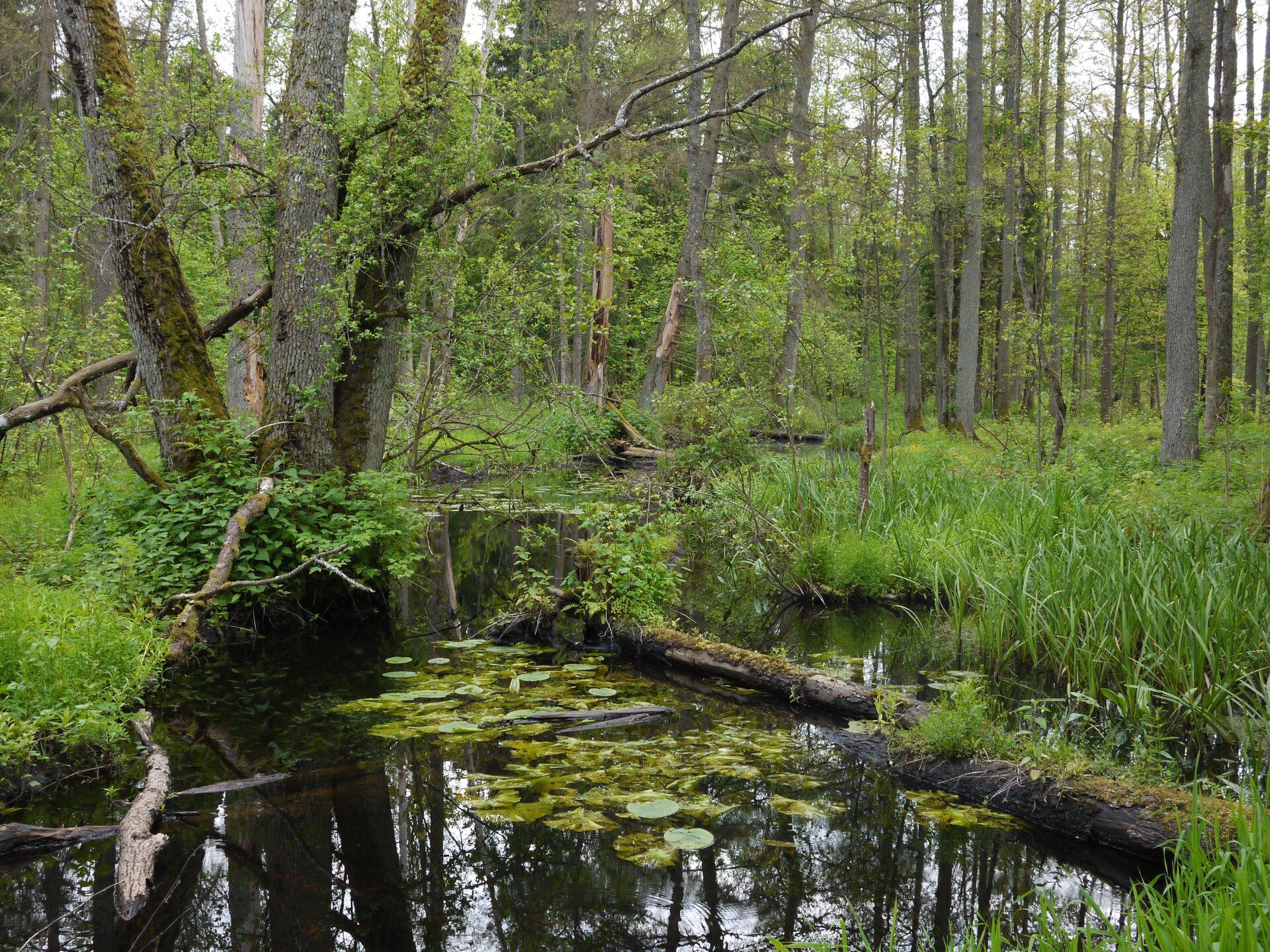 Fotografia ukazująca podmokły las Puszczy Białowieskiej. Na pierwszym planie stojąca woda, wokół wyrastające trawy. Wtle liczne drzewa.