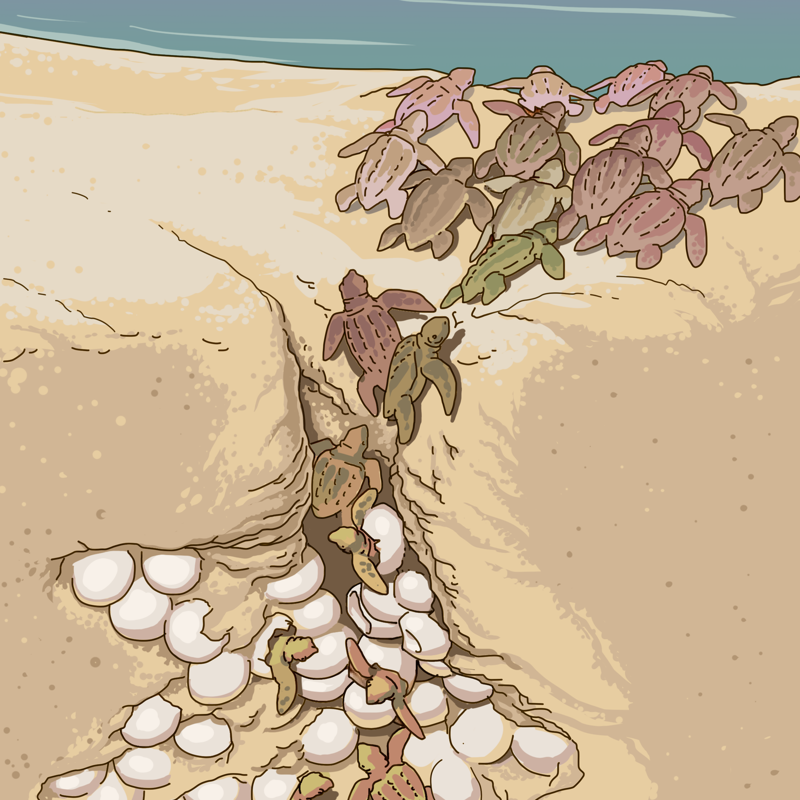 Rysunek młodych zółwi morskich. Młode są zielone. Wychodzą zjamki wykopanej na plaży, wktórej znajdują się białe okrągłe jaja. Młode wędroją wstronę morza. Mają kończyny przekształcone wpłetwy.