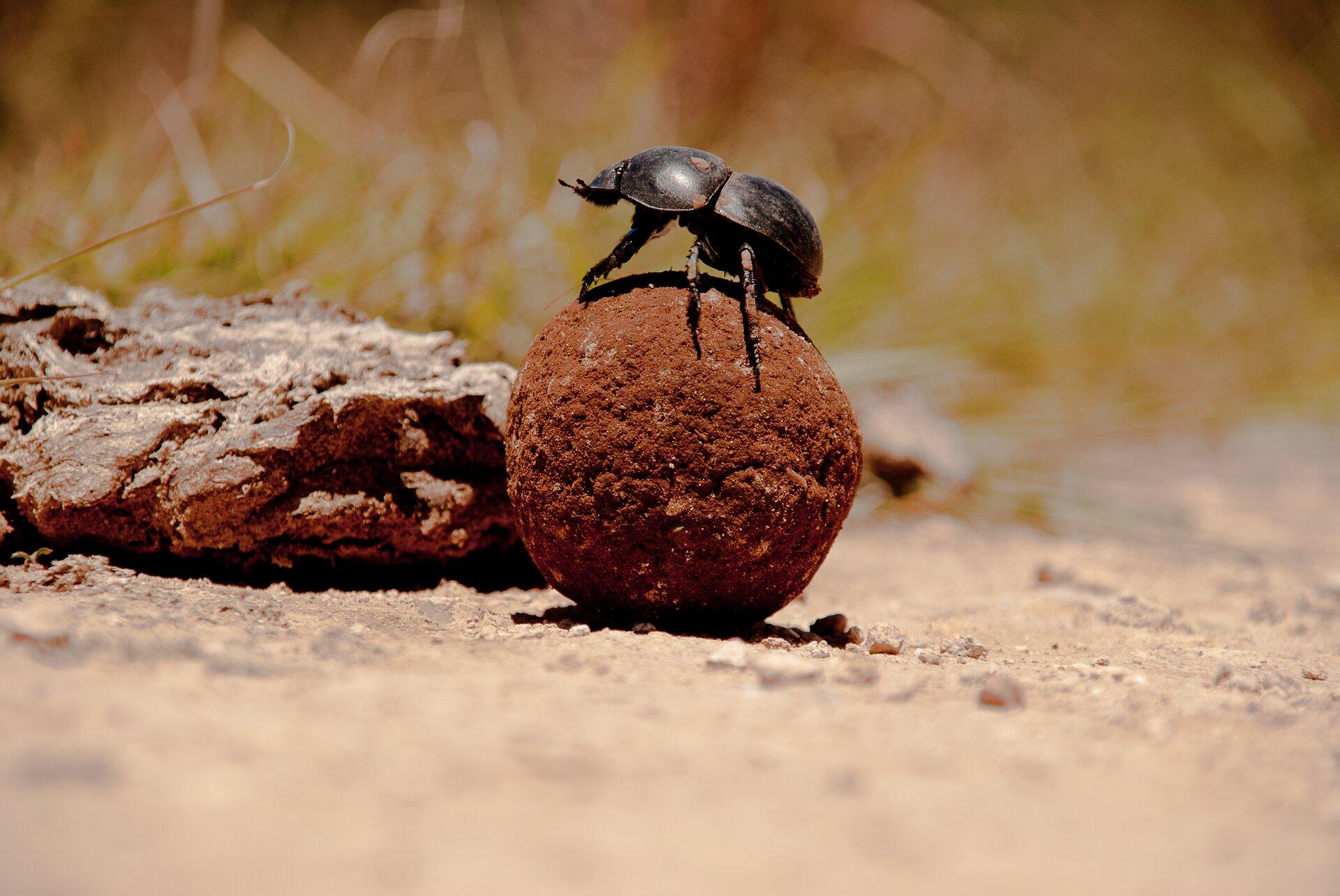 Fotografia przestawia duże zbliżenie czarnego żuka na brązowej kulce nawozu. Obok leżą odchody, zktórych żuk utoczył kulę.