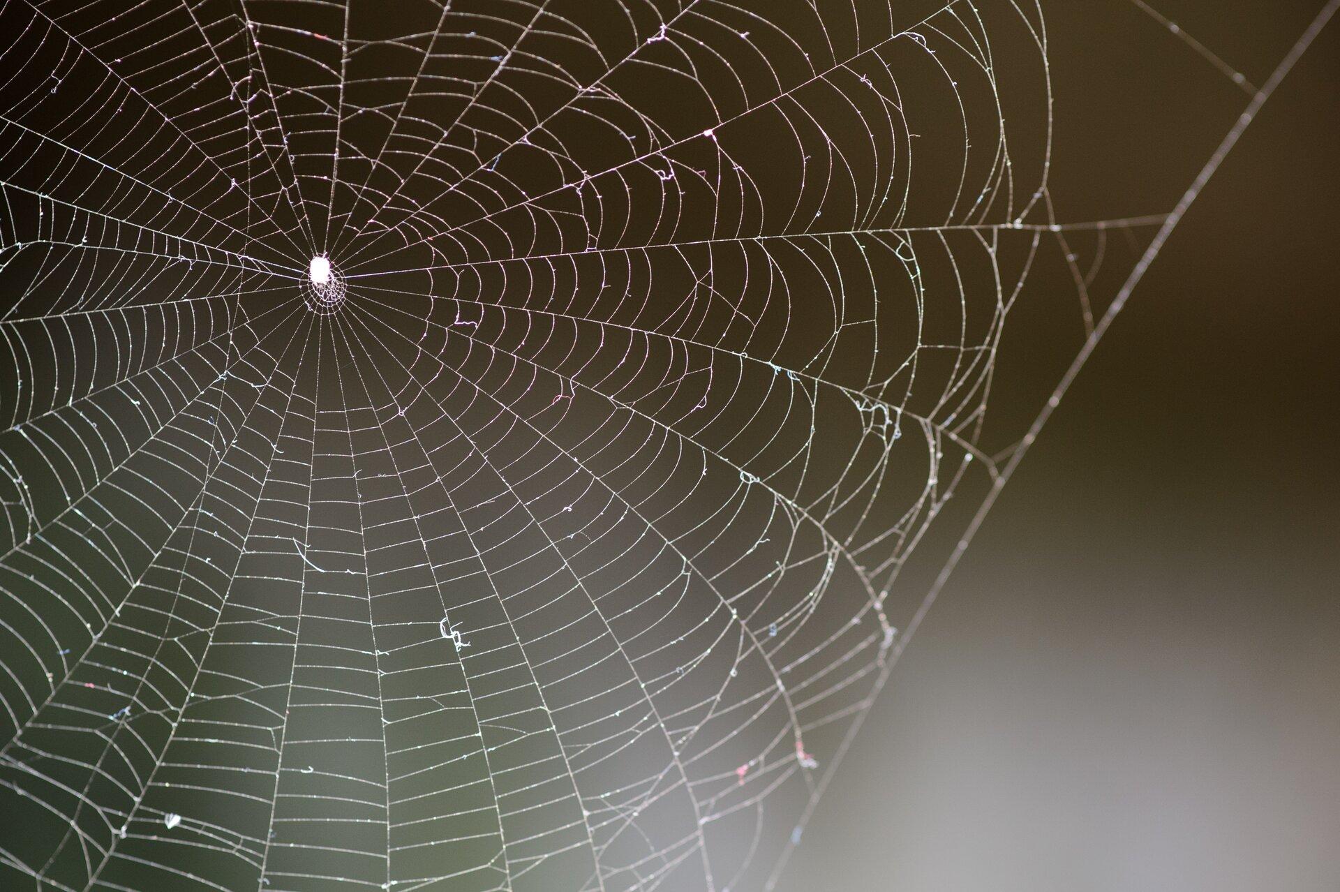 Fotografia przedstawia na czarnym tle fragment białej pajęczej sieci. Można odróżnić grubsze promieniste nici bazowe od lepkich, zkropelkami nici wątku. Wcentrum sieci biała sylwetka pająka.