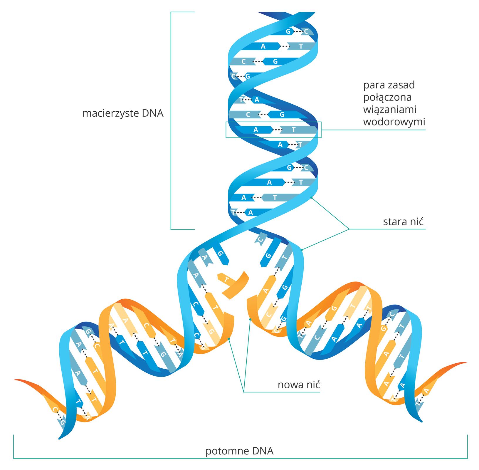 Ilustracja przedstawia replikację DNA. Od góry niebieska nićmacierzysta zparami zasad, połączonych wiązaniami wodorowymi. Wiązania pękają inić rozplata się. Do uwolnionych zasad przyłączane są zasady komplementarne: Ado T, Cdo G. Nowa nić jest wkolorze żółtym. Wwyniku replikacji otrzymujemy dwie takie same nici DNA.