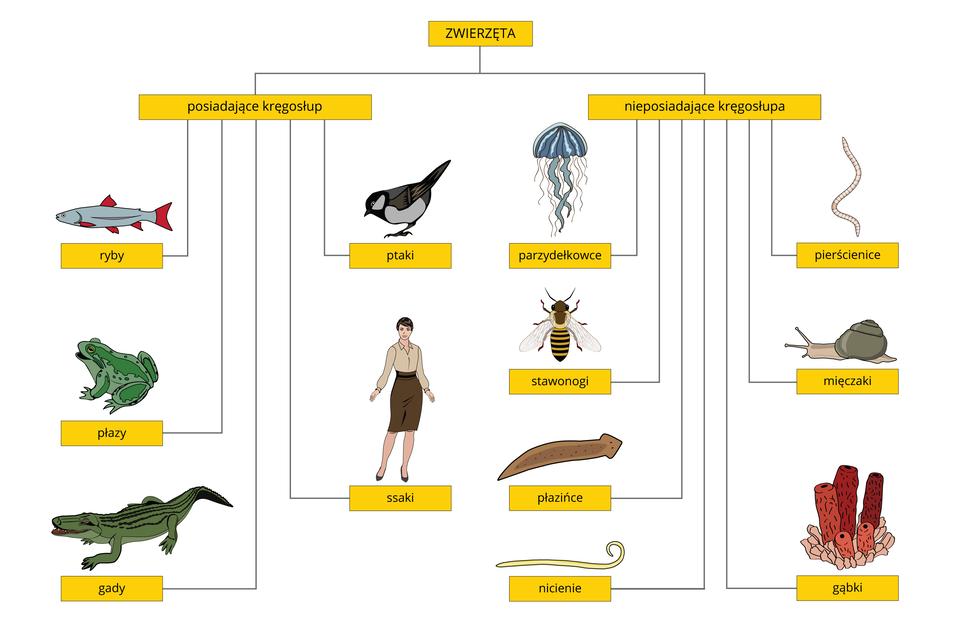Ilustracja przedstawia schemat blokowy dotyczący podziału królestwa zwierząt. Wżółtych prostokątach wpisane są nazwy grup zwierząt. Od dwóch prostokątów ugóry schematu linie prowadzą do kolejnych. Obok nich znajduje się ilustracja, symbolizująca tę grupę zwierząt.