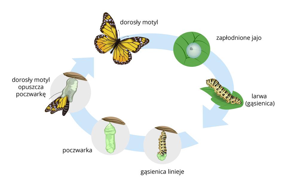 Schematy przedstawiające rozwój złożony owadów na przykładzie pasikonika (przeobrażenie niezupełne) imotyla (przeobrażenie zupełne), poszczególne stadia rozwojowe są opisane. Rozwoj pasikonika: zapłodnione jajo, larwy, dorosły pasikonik. Rozwój motyla: zapłodnione jajo, larwa (gąsienica), gosiecnica linieje, poczwarka, dorosły motyl opuszcza poczwarkę, dorosły motyl.