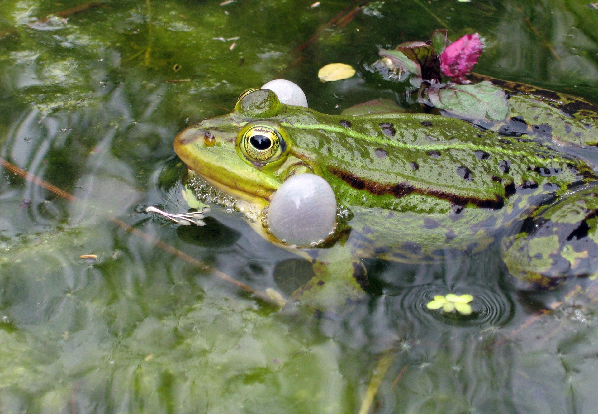 Zdjęcie żaby zwidocznymi workami głosowymi. Zwierze pływa na powierzchni wody. Żaba jest zielona zjandym pasem wzdłuż grzbietu. Po bokach głowy, tuz za oczami widoczne są worki rezonansowe wzmiacniające głos żaby. Mają kształt baloników.