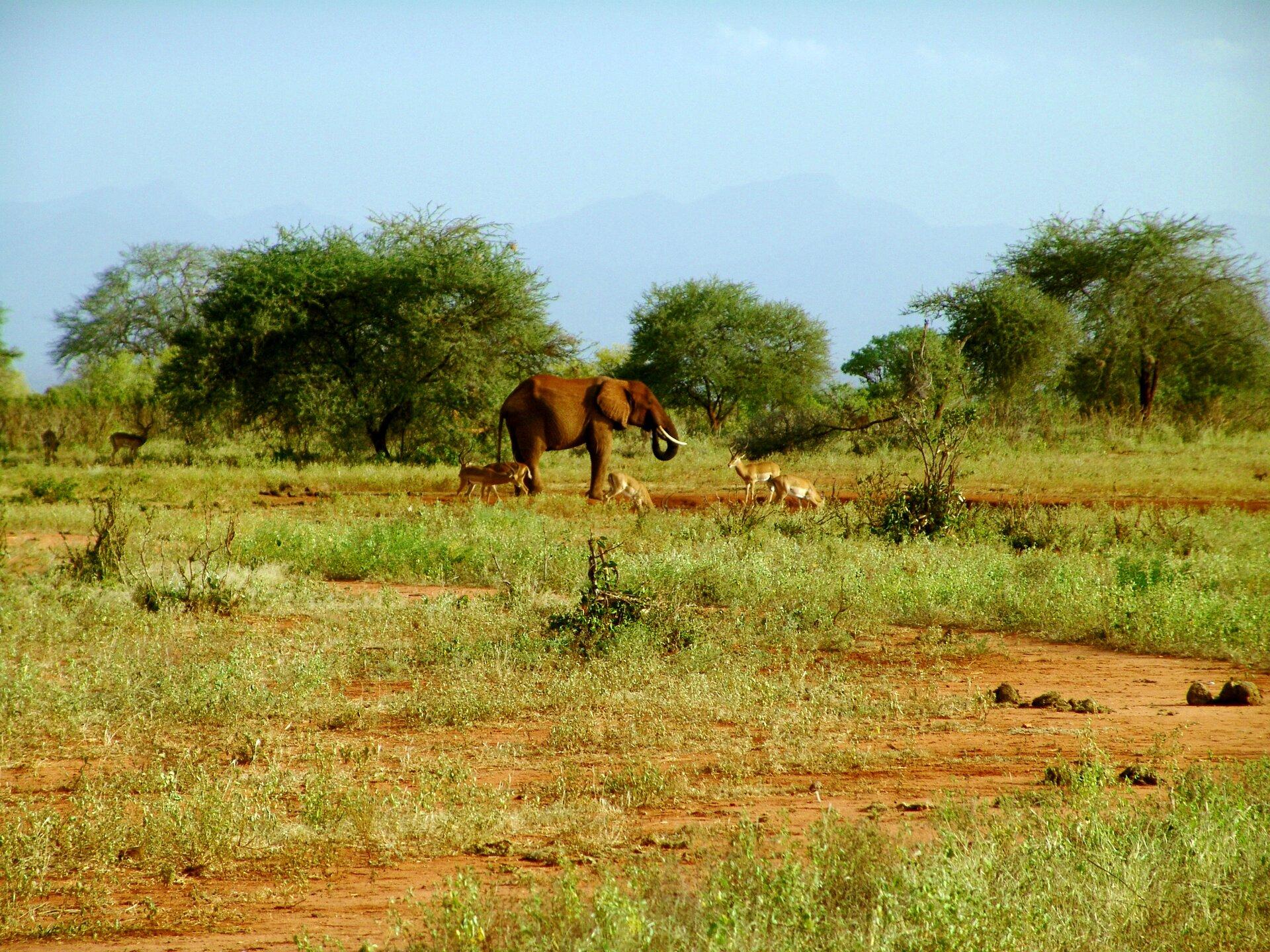 Fotografia przedstawia krajobraz sawanny. Na pomarańczowej ziemi rosną nieduże kępy traw. Wtle skupisko rozłożystych akacji. Przed nimi znajduje się płytka sadzawka, przy której stoi słoń, pokryty rudym błotem. Obok kilka gazeli - zwierząt odługich nogach ismukłym ciele, ubarwione na żółtobrązowo.