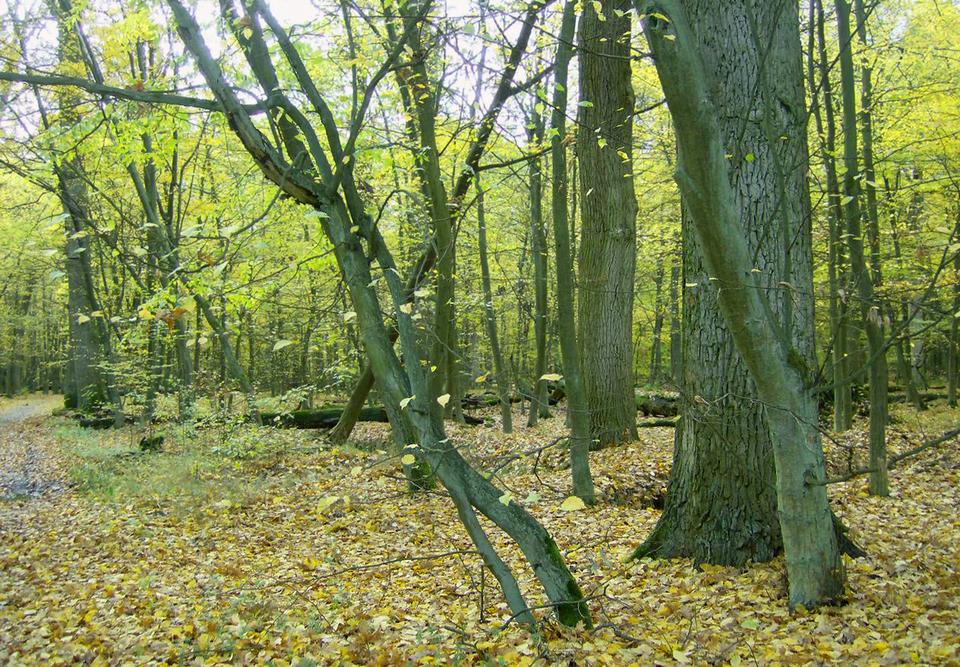 Mapa Polski zoznaczonymi na zielono parkami narodowymi. Fotografia prezentuje rezerwat leśny. Widoczne drzewa liściaste wwiosennym lesie.