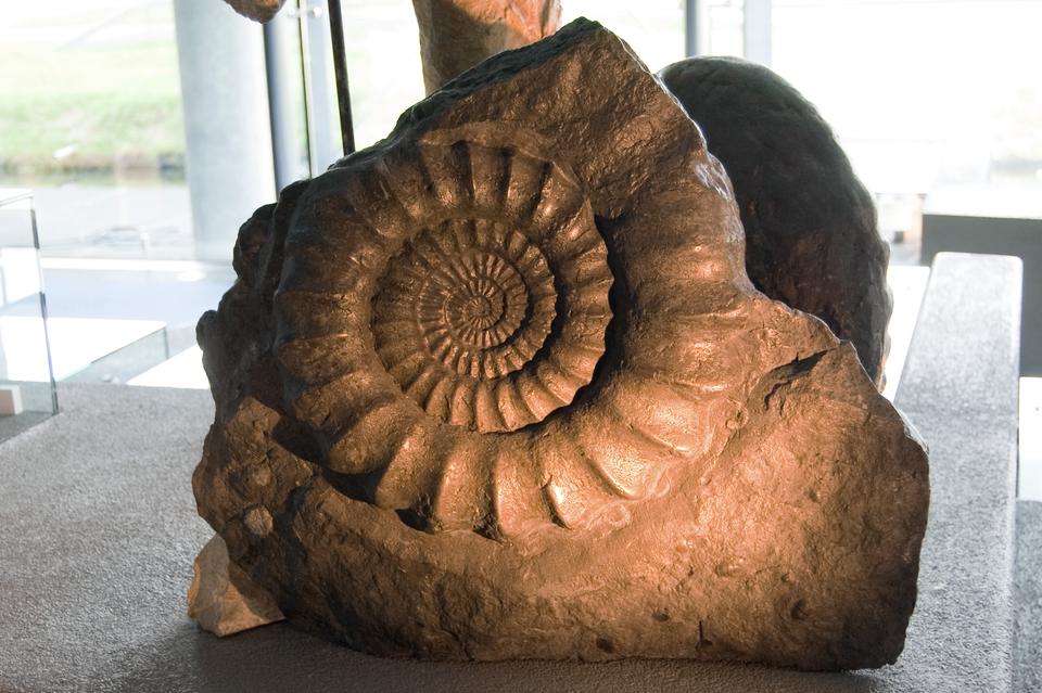 Fotografia przedstawia brązowy okaz wmuzealnej gablocie. Jest to duża, skamieniała muszla amonita.