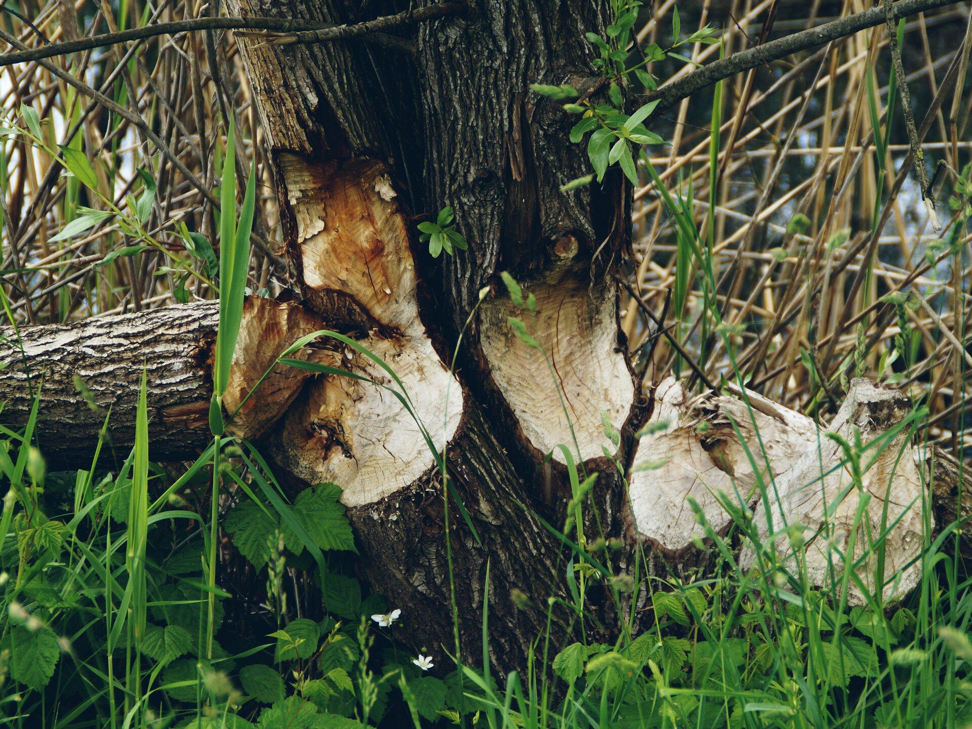 Pień drzewa wygryziony przez bobra Pień drzewa wygryziony przez bobra Źródło: domena publiczna.