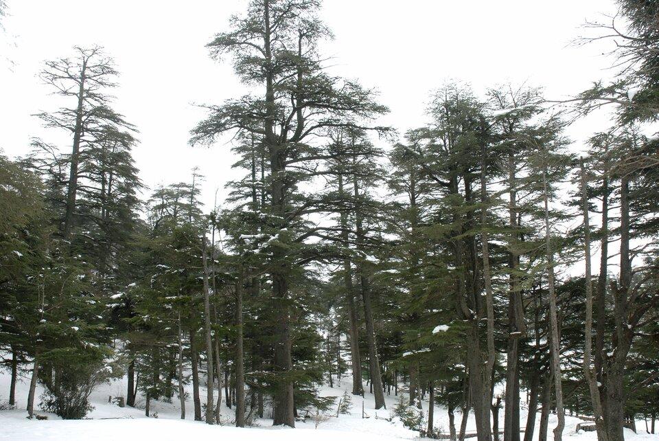 Las cedrowy wwyższych partiach gór Atlas po zimowych niewielkich opadach śniegu