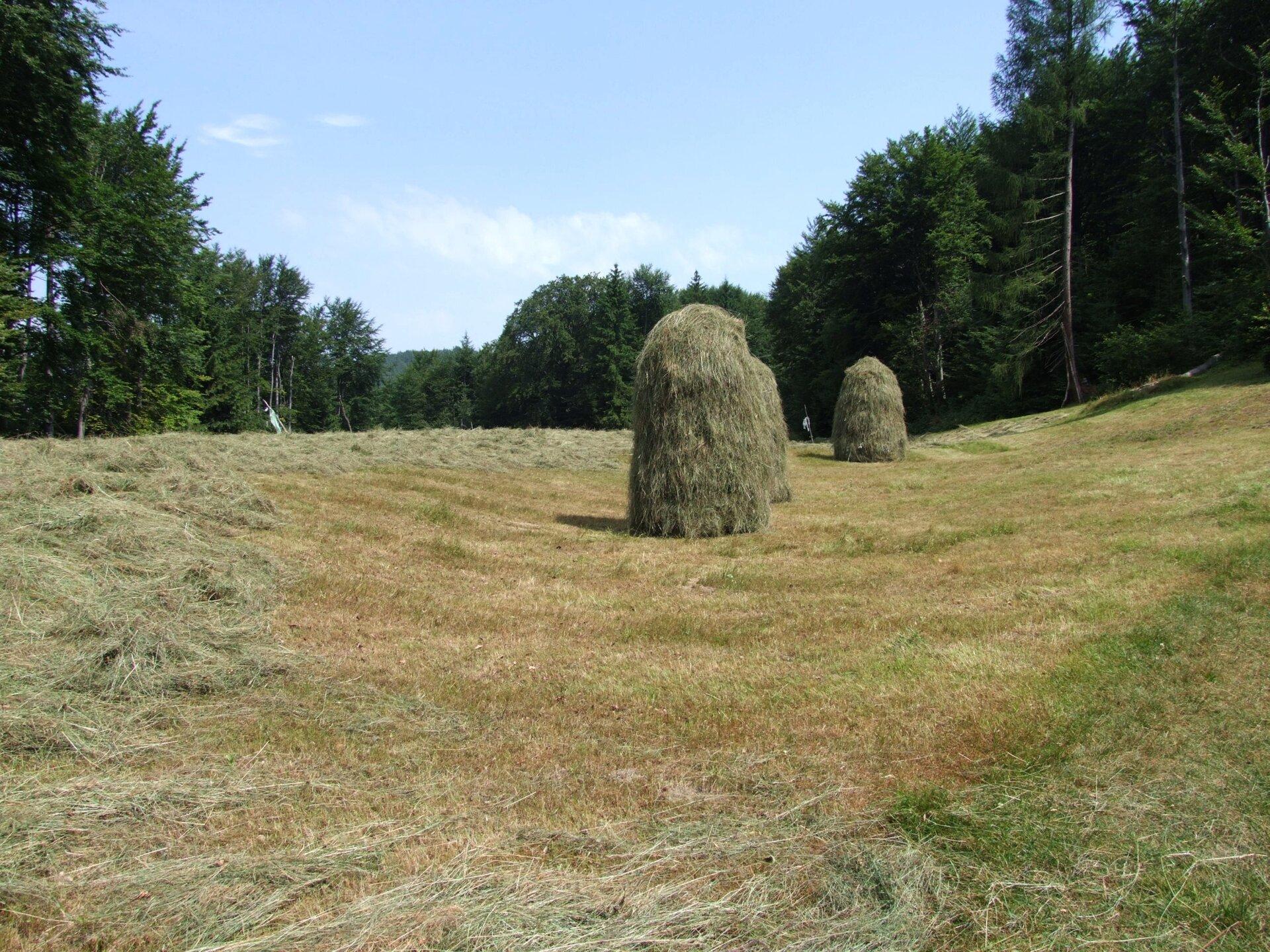 Na zdjęciu skoszona łąka, siano ustawione wwysokie kopce. Wtle las.