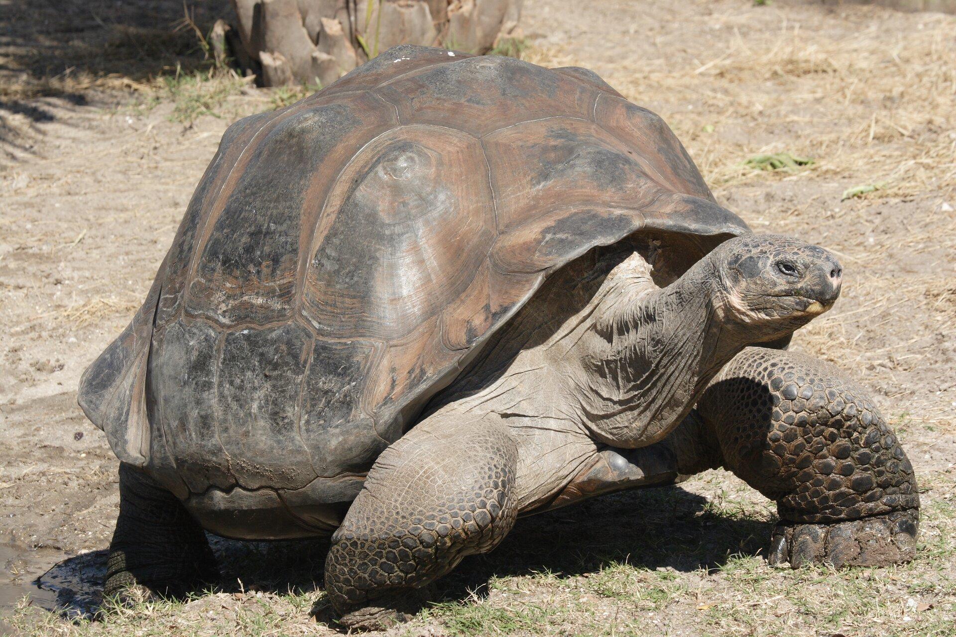 Fotografia przedstawia zbliżenie szarobrązowego żółwia słoniowego. Stoi na wyschniętej ziemi, wsłońcu. Spod kopulastej skorupy wystaje mała owalna głowa na cienkiej, pomarszczonej szyi, bokiem wprawo. Czarne oko wobwódce skóry lekko ukośne. Zprzodu głowy otwory nozdrzy, pysk zamknięty. Poniżej zgięte wprzód masywne nogi, palce złączone, skierowane do siebie. Na pancerzu wielokątne wzory, przypominające muszle.