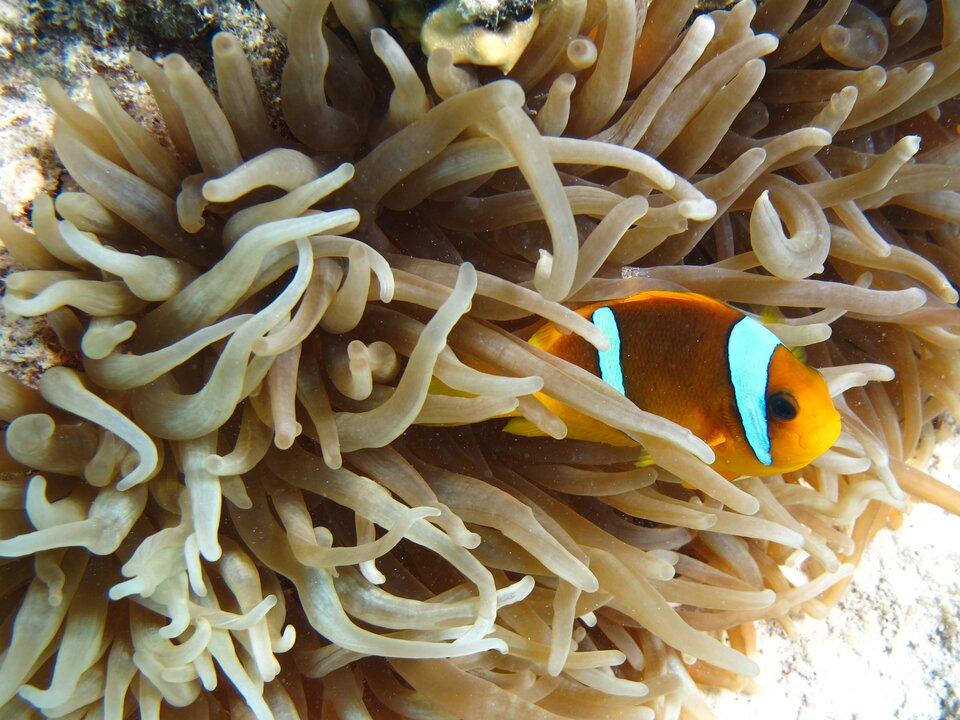 Fotografia przedstawia wzbliżeniu czułki koralowca. Między nimi zprawej częściowo widoczna ryba błazenek. Jest żółta zdwoma błękitnymi pasami od góry: za okiem iwpołowie tułowia.