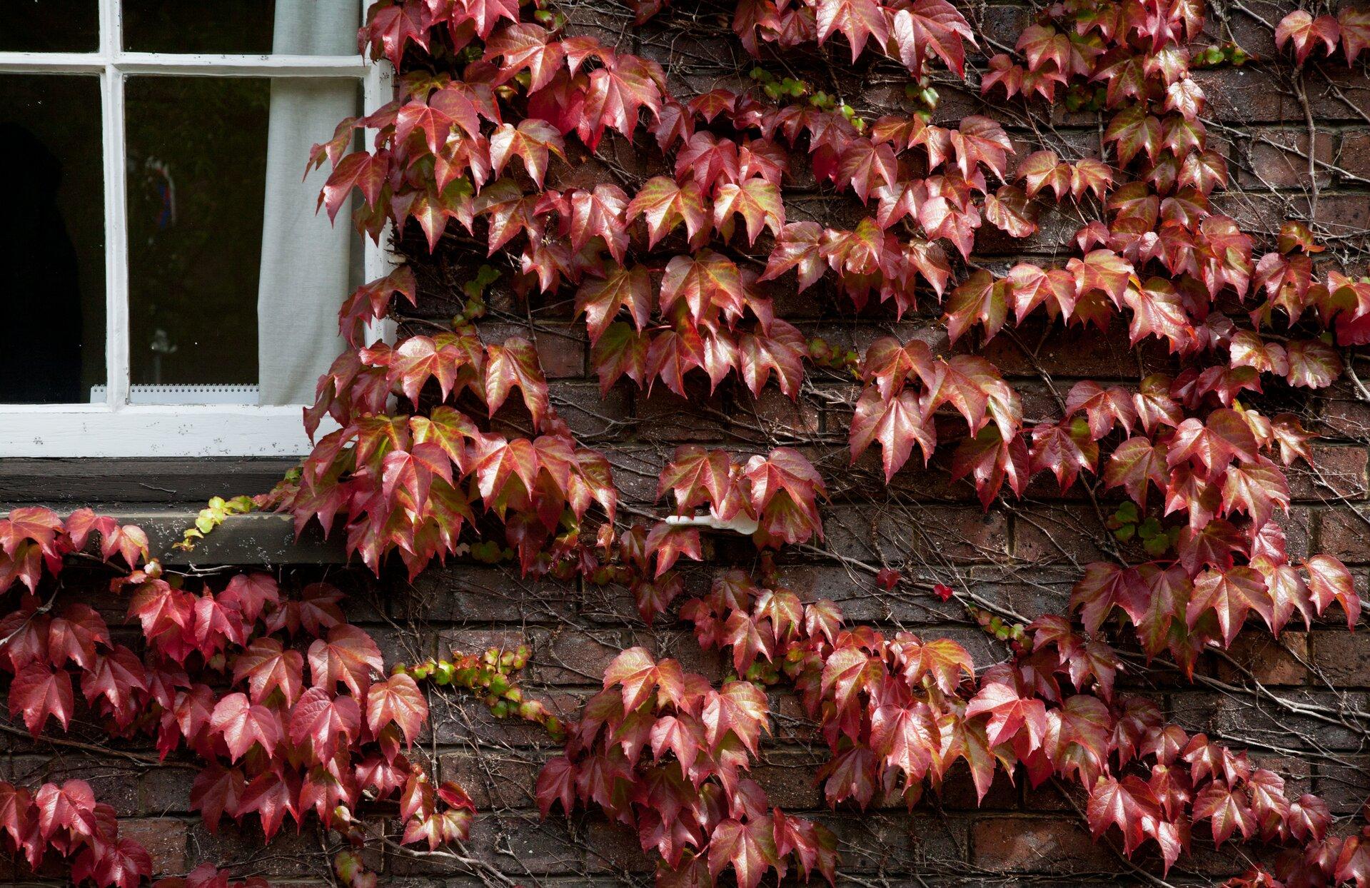 Fotografia przedstawia ścianę budynku, po której wspina się roślina oczerwonych, klapowanych liściach. To winobluszcz. Jego szare łodygi są ściśle przyczepione do ściany.
