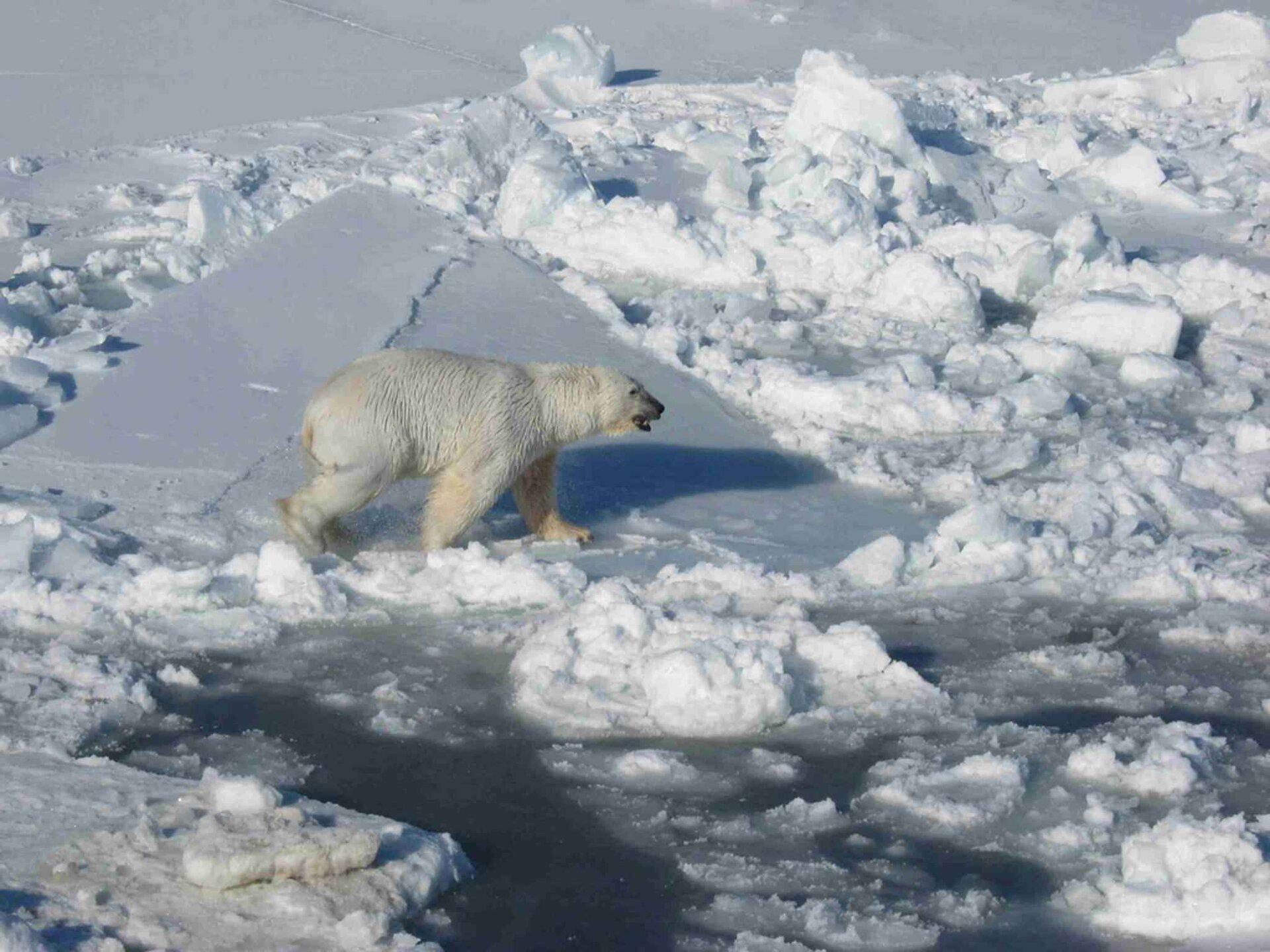 Na zdjęciu niedźwiedź polarny na krze lodowej na zamarzniętym zbiorniku wodnym.
