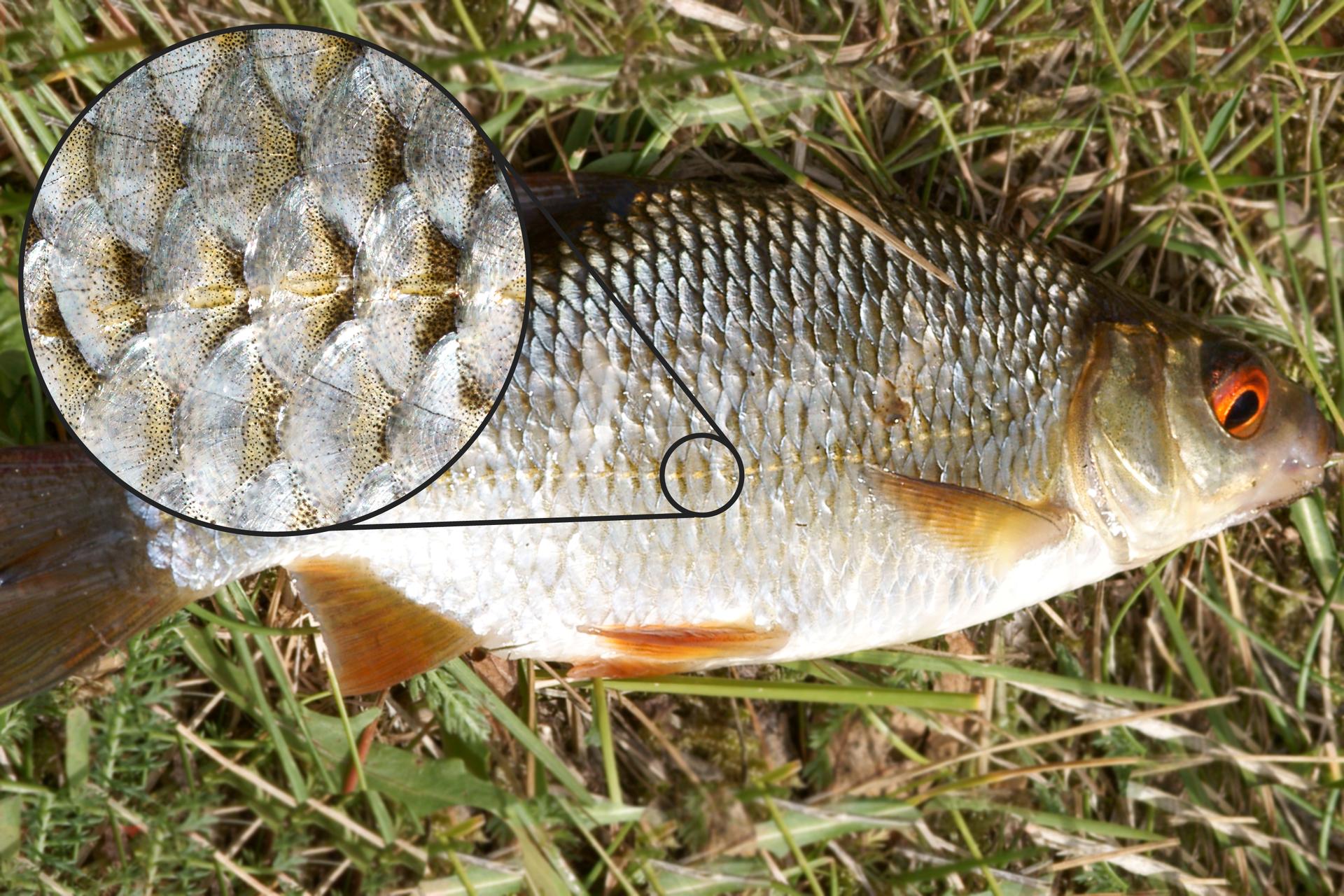 Fotografia przedstawia leżącą na boku srebrzystą rybę. Głowa zpomarańczowym okiem zprawej. Płetwy na brzuchu pomarańczowe, pozostałe brązowe. Łuski srebrzyste, zżółtawą poziomą linią naboczną wpołowie ciała. Zlewej powiększenie fragmentu skóry ryby zlinii nabocznej. Włuskach beżowe, niewielkie owalne otwory.