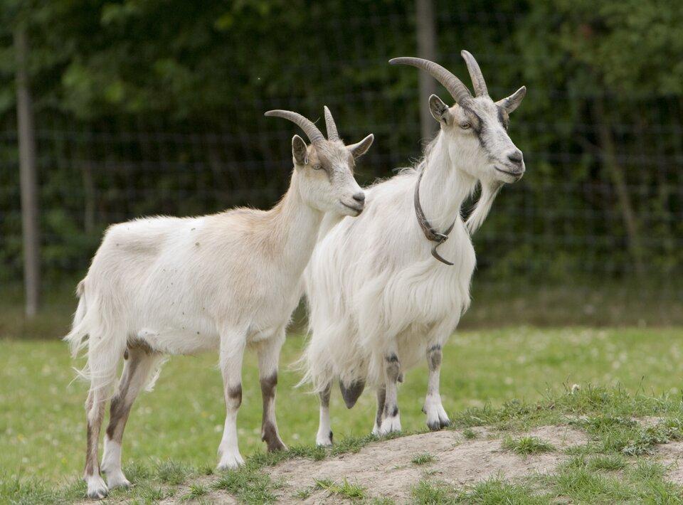 Na zdjęciu dwie kozy. Biała sierść, duże rogi. Wtle ogrodzenie.