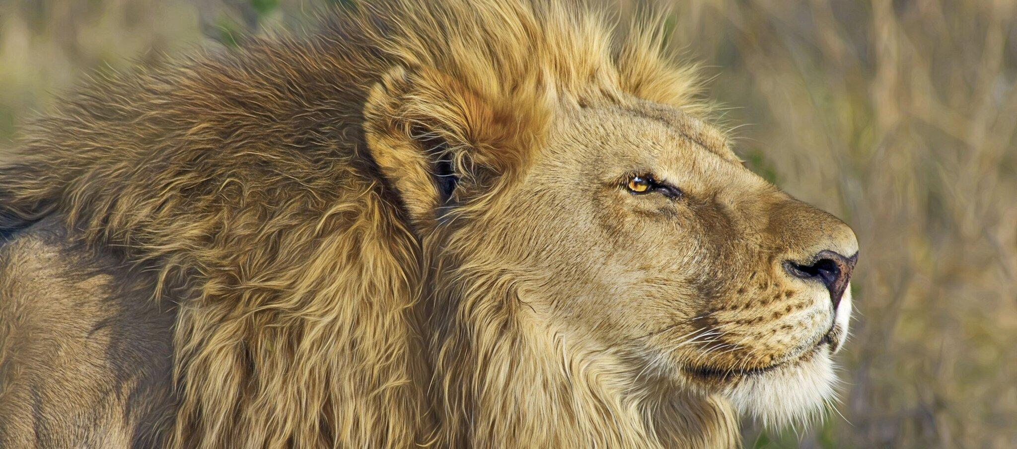 Król zwierząt Król zwierząt Źródło: licencja: CC 0.