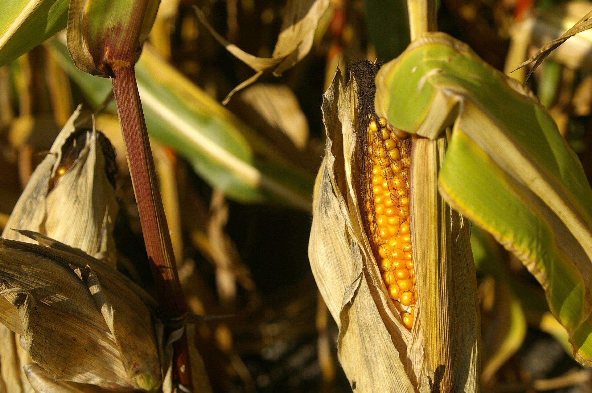 Kukurydza. Widoczna jest kolba kukurydzy zdojrzałymi, żółtymi nasionami. Są jasnożółte, gęsto ułożone, błyszczące.