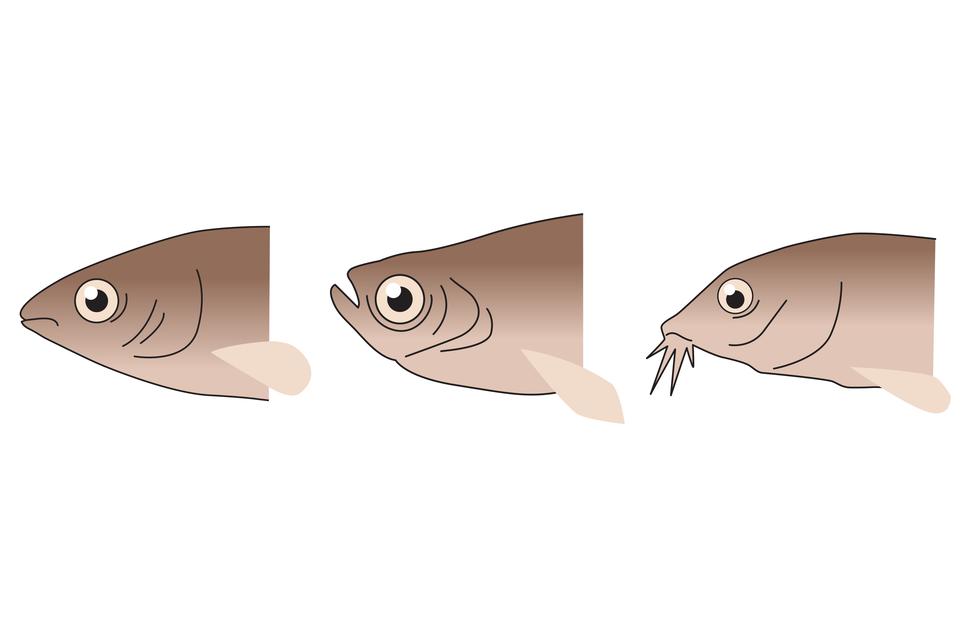 Ilustracja przedstawia wpionie trzy beżowe głowy ryb, skierowane wlewo. Na każdej głowie zaznaczono położenie oka iotworu gębowego. Ugóry ryba ma pysk lekko wydłużony, otwór gębowy poziomo wśrodku pyska. Ryba środkowa ma pysk zaokrąglony, aotwór gębowy skierowany wgórę. Dolna ryba ma pysk wydłużony, na końcu kilka wyrostków, między nimi otwór gębowy po spodniej stronie.