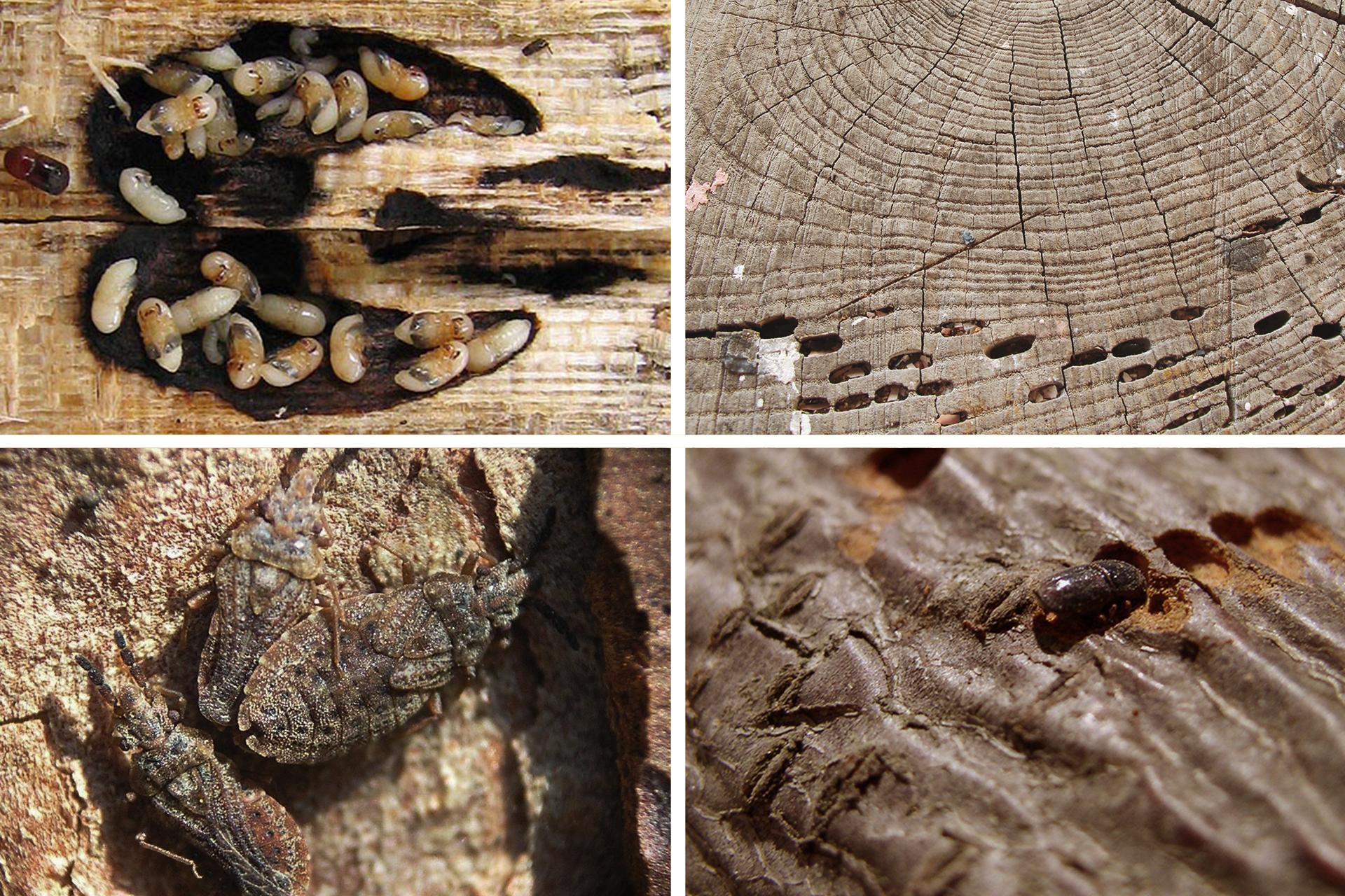 Ilustracja składa się zczterech fotografii iprzedstawia owady iich larwy żerujące wdrewnie. Są to organizmy uważane za szkodniki drzew.