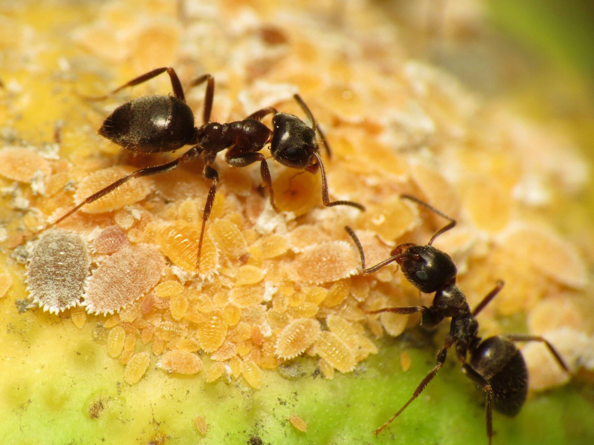 Fotografia dwóch mrówek. Mrówki stoją ustawione głowami do siebie. Ciała owadów są czarne. Głowa jest duża, tułów krótki, ale długi, za nim znajduje się odwłok, większy od głowy. Mrówki opierają się na cienkich odnóżach.