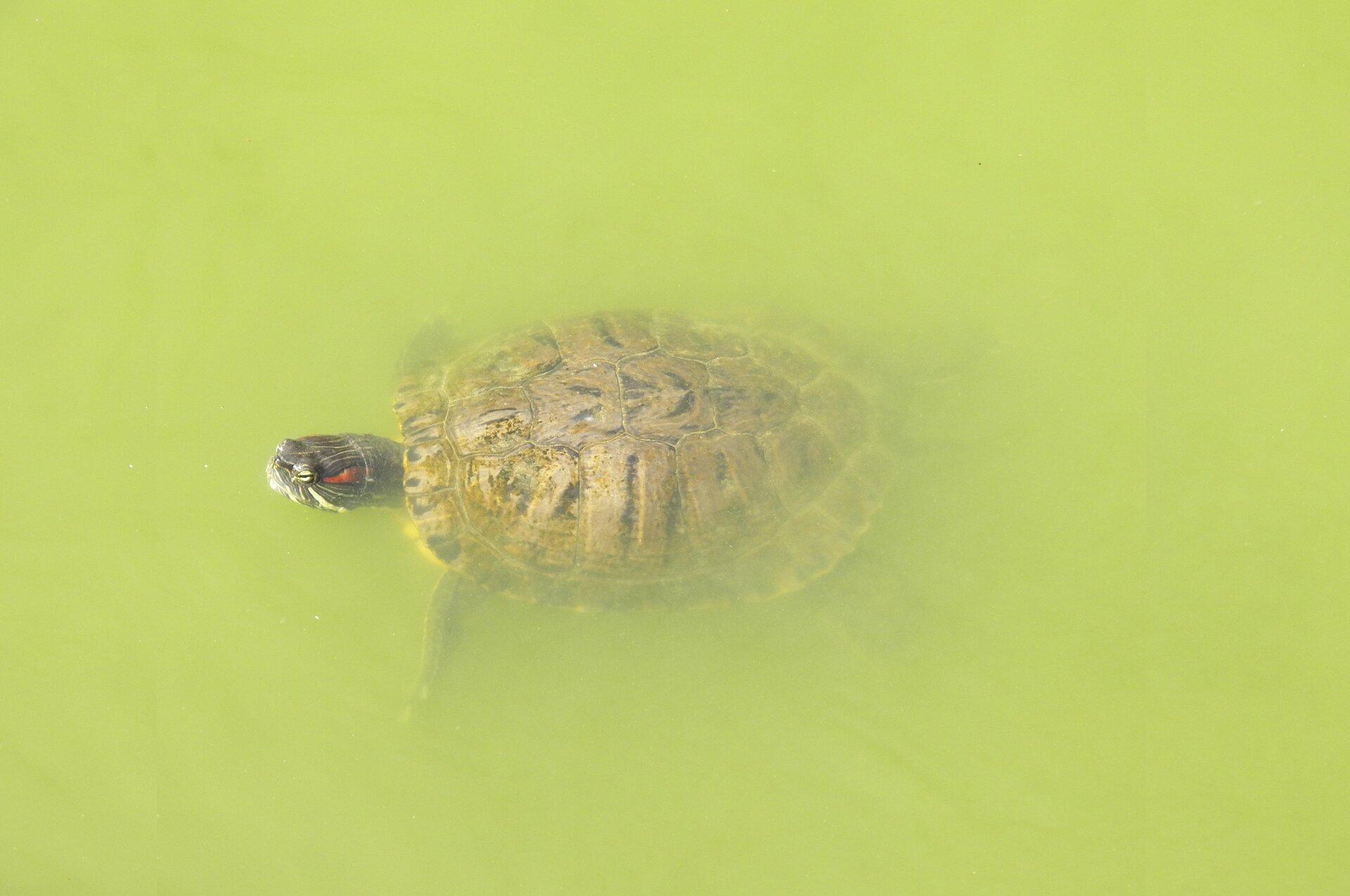 Żółw wwodzie Źródło: pixabay, licencja: CC 0.