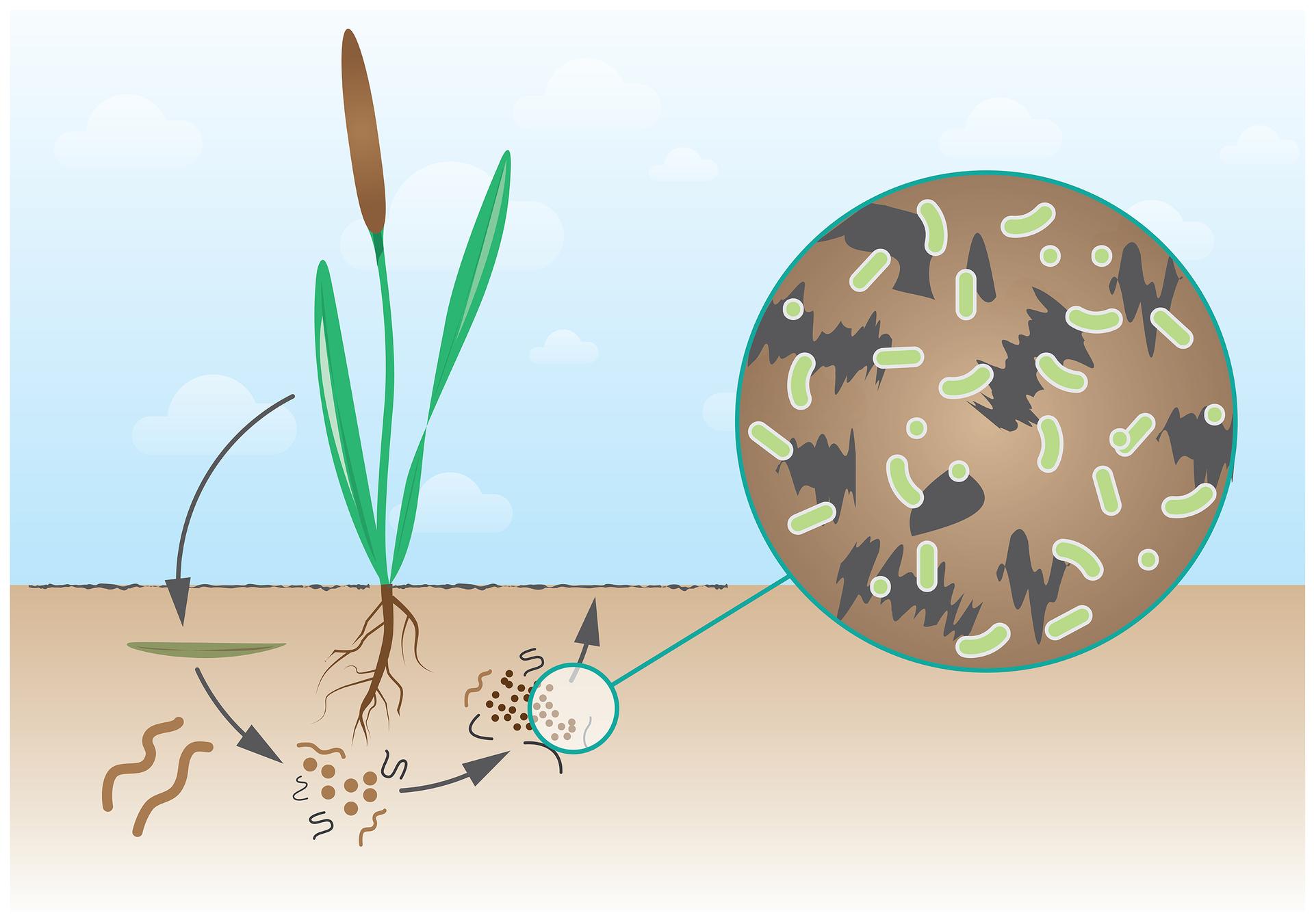 Ilustracja przedstawia na niebieskim tle zieloną roślinę zbrązowym kwiatostanem ugóry ibrązowymi korzeniami udołu. Dolna część ilustracji przedstawia blado brązową ziemię. Po prawej znajduje się niebieskie koło zbrązowym tłem oraz szarymi izielonymi plamkami. Strzałki prowadzą od rośliny wlewo, do ziemi. Ukazano tu zielony podłużny kształt – opadnięty liść ibrązowe robaki. Udołu pod korzeniami narysowane są brązowe kulki irobakowate kształty. Strzałka dalej wprawo prowadzi do niebieskiego kółka, powiększenia obrazu, które znajduje się po prawej. Zielone owale oznaczają bakterie, rozkładające martwą materię, co przyczynia się do użyźniania gleby.