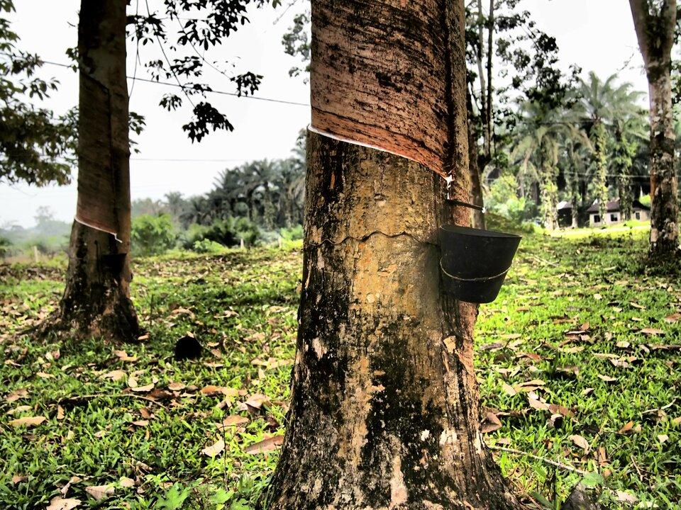 Na zdjęciu nacięty pień drzewa, zzawieszonym wiaderkiem. Kapiąca kropla soku.