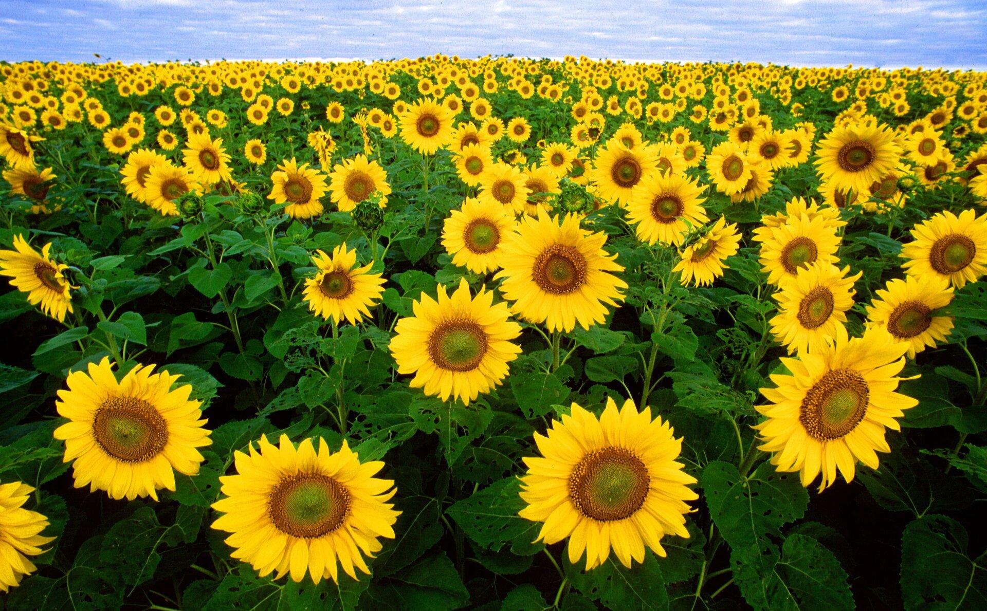 Fotografia przedstawia zbliska pole kwitnących słoneczników. Żółte tarcze są rozwinięte, ale jeszcze niedojrzałe, widać żółte płatki kwiatów tworzących tarczę. Między tarczami słoneczników widać ich liście iłodygi.