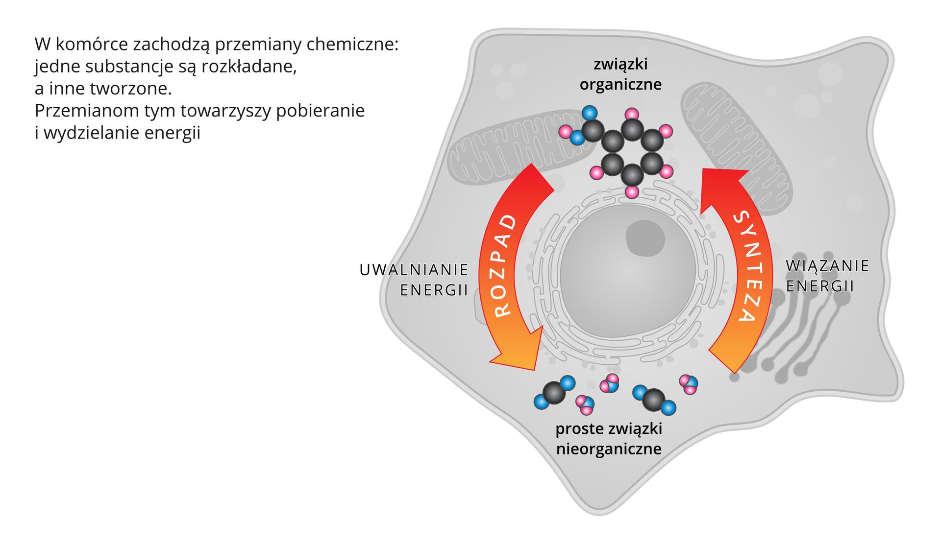 Ilustracja przedstawia schemat przemiany materii ienergii wkomórce. Wwyniku przemian chemicznych jedne substancje są rozkładane ainne tworzone. Procesom tym towarzyszy pobieranie iuwalnianie energii.