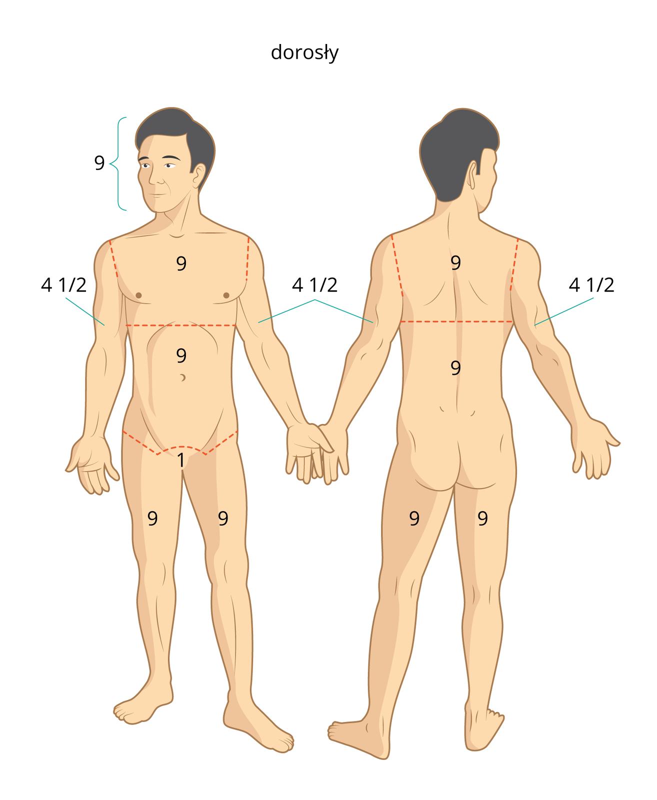 Galeria nr 2 składa się zdwóch prostokątnych ilustracji ułożonych obok siebie. Na każdej ilustracji znajduje się stojący mężczyzna bez ubrania. Ilustracja 1, po lewej, mężczyzna zwrócony przodem do obserwatora. Po prawej, ten sam mężczyzna stojący plecami do obserwatora. Liczba 9 jest umieszczona na: głowie, klatce piersiowej, brzuchu, udach, łopatkach iplecach. Liczba 1 umieszczona jest wkroczu. Liczba 4 ½ powyżej łokci.