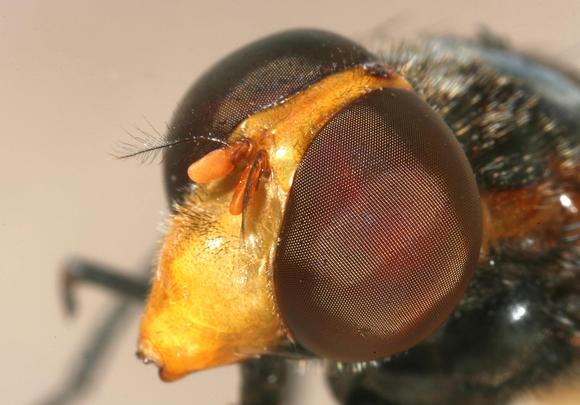 Fotografia prezentuje głowę owada zolbrzymimi brązowymi oczami. Oczy zbudowane są zmałych punkcików.