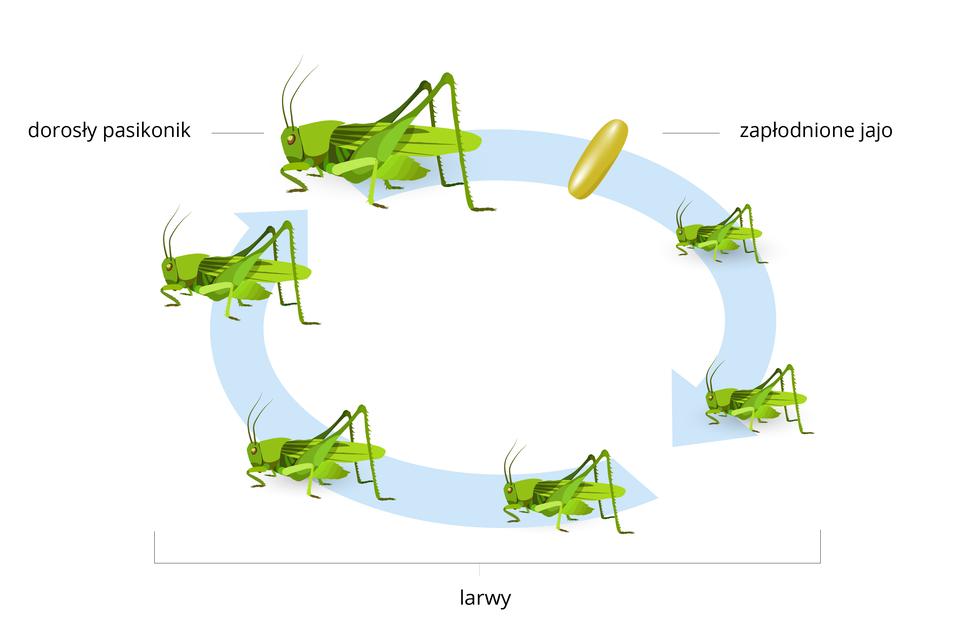 Ilustracja przedstawia stadia rozwojowe pasikonika. Rysunki umieszczono na kolistych, błękitnych strzałkach. Od lewej ugóry zielony owad dorosły bokiem, głowa wlewo. Dalej żółtobrązowe zapłodnione jajo. Kolejne pięć sylwetek pasikonika obrazuje larwy, podobne do owada dorosłego, różnej wielkości: od najmniejszej do największej. Taki sposób rozwoju to przeobrażenie niezupełne.
