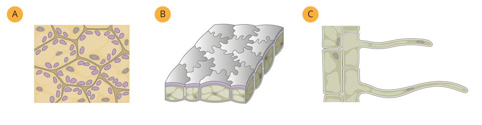 Ilustracja przedstawia tkanki oznaczone A-C.