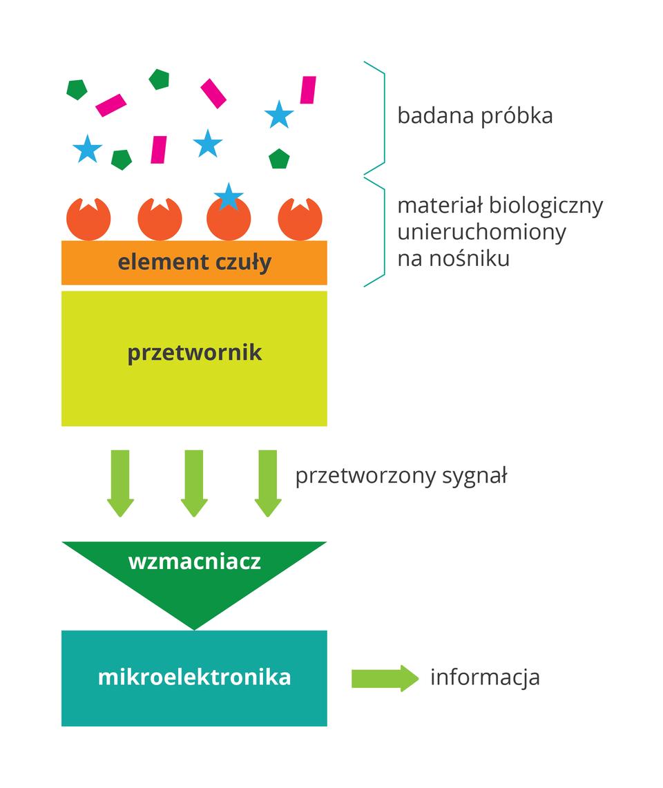 Ilustracja przedstawia schemat działania biosensora. Od góry kolorowe kształty oznaczają badaną próbkę. Jej elementy są wyłapywane na przykład przez mikroorganizmy, oznaczone jako pomarańczowe kule iumocowane na nośniku. Wytwarzany przez nie sygnał biologiczny trafia do przetwornika, symbolizowanego przez żółty prostokąt. Sygnał, zielone strzałki, trafia do zielonego trójkąta – wzmacniacza idalej do urządzeń elektronicznych.