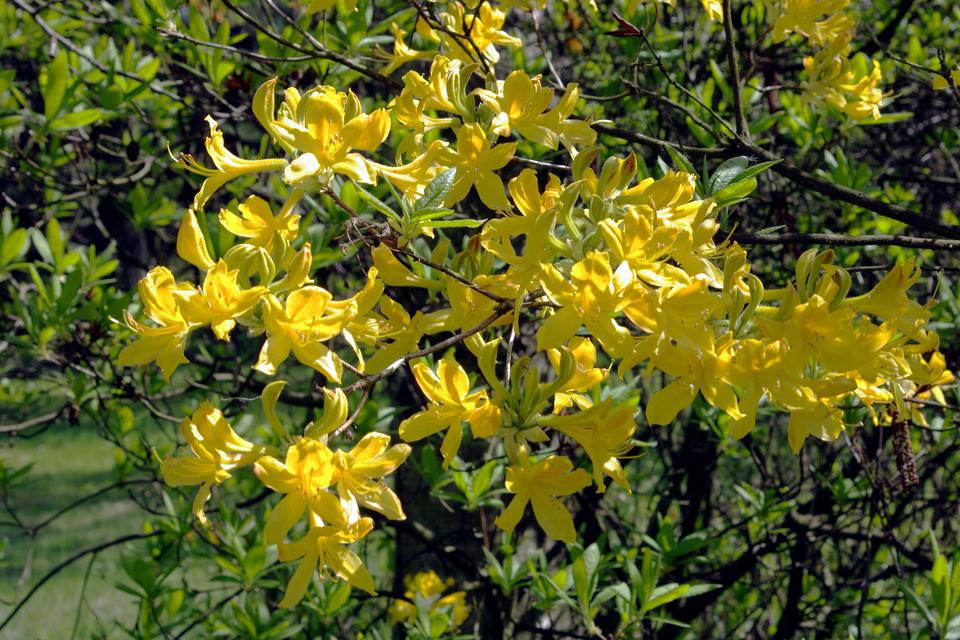 Fotografia przedstawia zbliżenie dużych żółtych kwiatów na długich, cienkich gałązkach. Liście jajowate, wkępkach. To różanecznik żółty.
