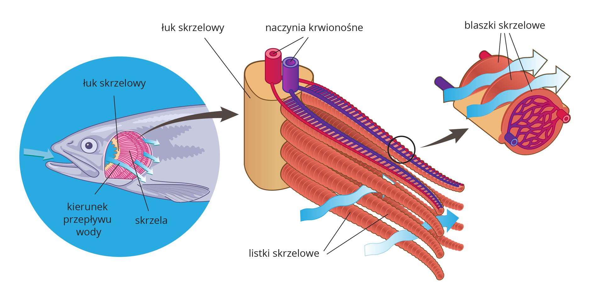 Ilustracja przedstawia kolejne powiększenia, obrazujące proces wymiany gazowej skrzelach. Zlewej na błękitnym kolistym tle szara głowa ryby zotwartym pyskiem izdjętymi pokrywami skrzelowymi. Na łuku skrzelowym wrysowano różowe, półkoliste skrzela wtrzech rzędach. Jasne strzałki wskazują kierunek przepływu wody: zpyska na zewnątrz przez skrzela. Środkowy rysunek to pionowy beżowy fragment łuku skrzelowego zczterema wałeczkowatymi listkami skrzelowymi. Na górnym wrysowano czerwone ifioletowe naczynia krwionośne, drabinkowo połączone. Niebieskie falowane strzałki obrazują przepływ wody przez skrzela. Ostatni rysunek przedstawia wycinek listka skrzelowego. Walcowata struktura jest podzielona na plasterki – blaszki skrzelowe. Wjednej znich ukazano siateczkę naczyń włosowatych, wktórych zachodzi wymiana gazowa. Symbolizują to kolory naczyń : niebieski, fioletowy iczerwony. Błękitne strzałki obrazują przepływ wody między blaszkami skrzelowymi.