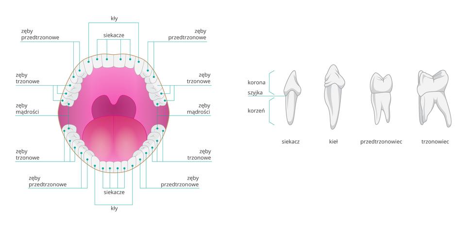 Ilustracja przedstawia schemat uzębienia człowieka. Wgórnej szczęce idolnej żuchwie układ zębów danego typu jest taki sam. Poszczególne typy zębów od przodu, to: siekacze, kły, zęby przedtrzonowe, tronowe. Ostatni ząb trzonowy nazywany jest zębem mądrości. Po prawej stronie pokazano budowę poszczególnych zębów. Każdy składa się z: korony, szyjki ikorzenia. Korona ikorzeń są różnego kształtu iwielkości wzależności od typu zęba.