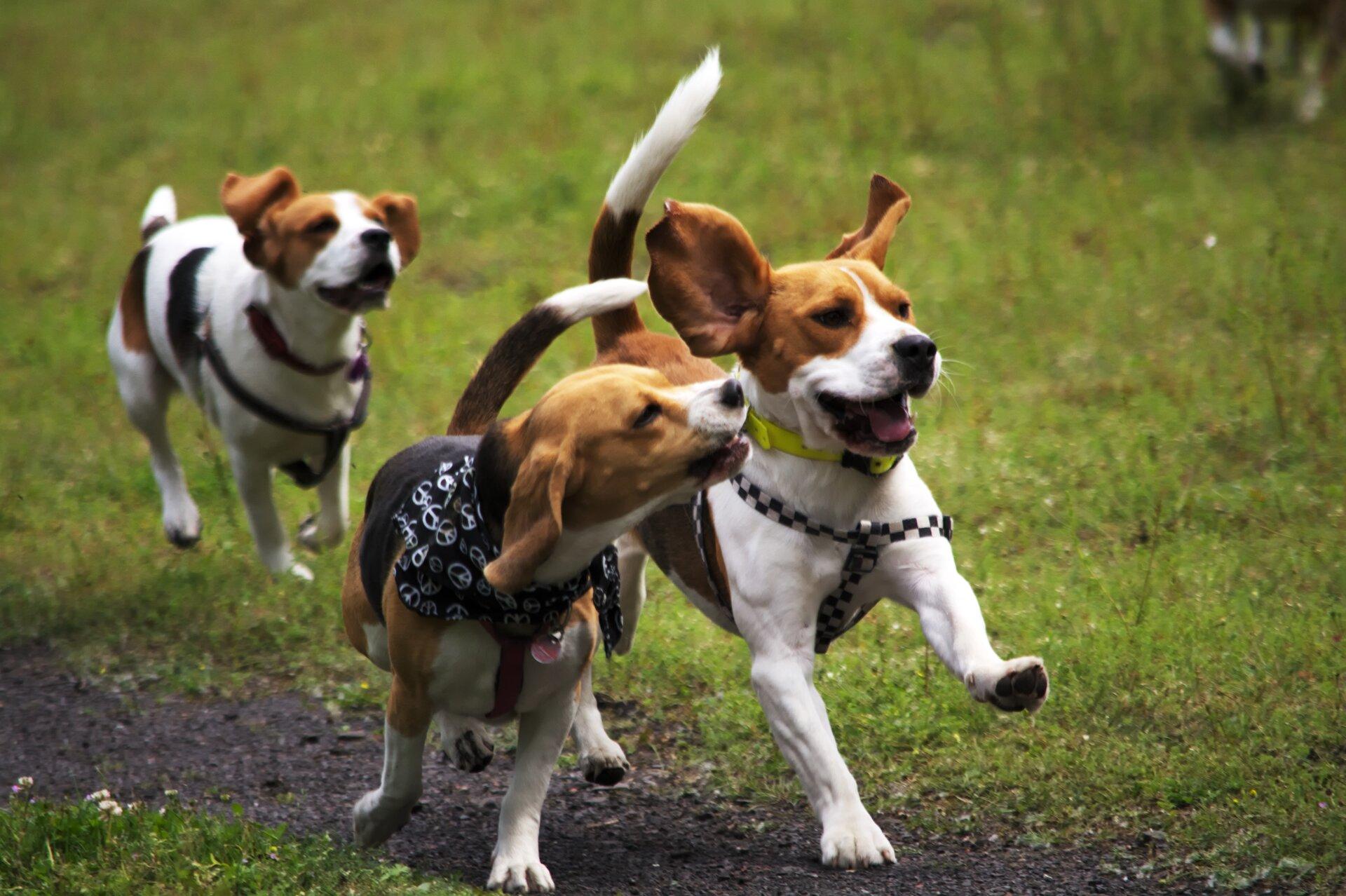 Fotografia przedstawia 3 biegnące po ścieżce wtrawie szczeniakirasy Beagle. Są biało – brązowe, mają długie uszy ikrótkie łapy. 2 ubrane wszelki, jeden ma czarno – białą apaszkę iczarny kubrak.