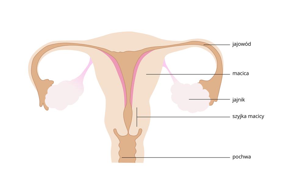 Ilustracja przedstawia narządy rozrodcze kobiety, widok zprzodu, symetrycznie. Różowy trójkątny kształt to macica. Po bokach ma blade, pęcherzykowate jajniki. Od nich brązowy jajowód do jamy macicy zciemnoróżowymi ścianami. Niżej zgrubienie podpisane jako szyjka macicy. Udołu pochwa.