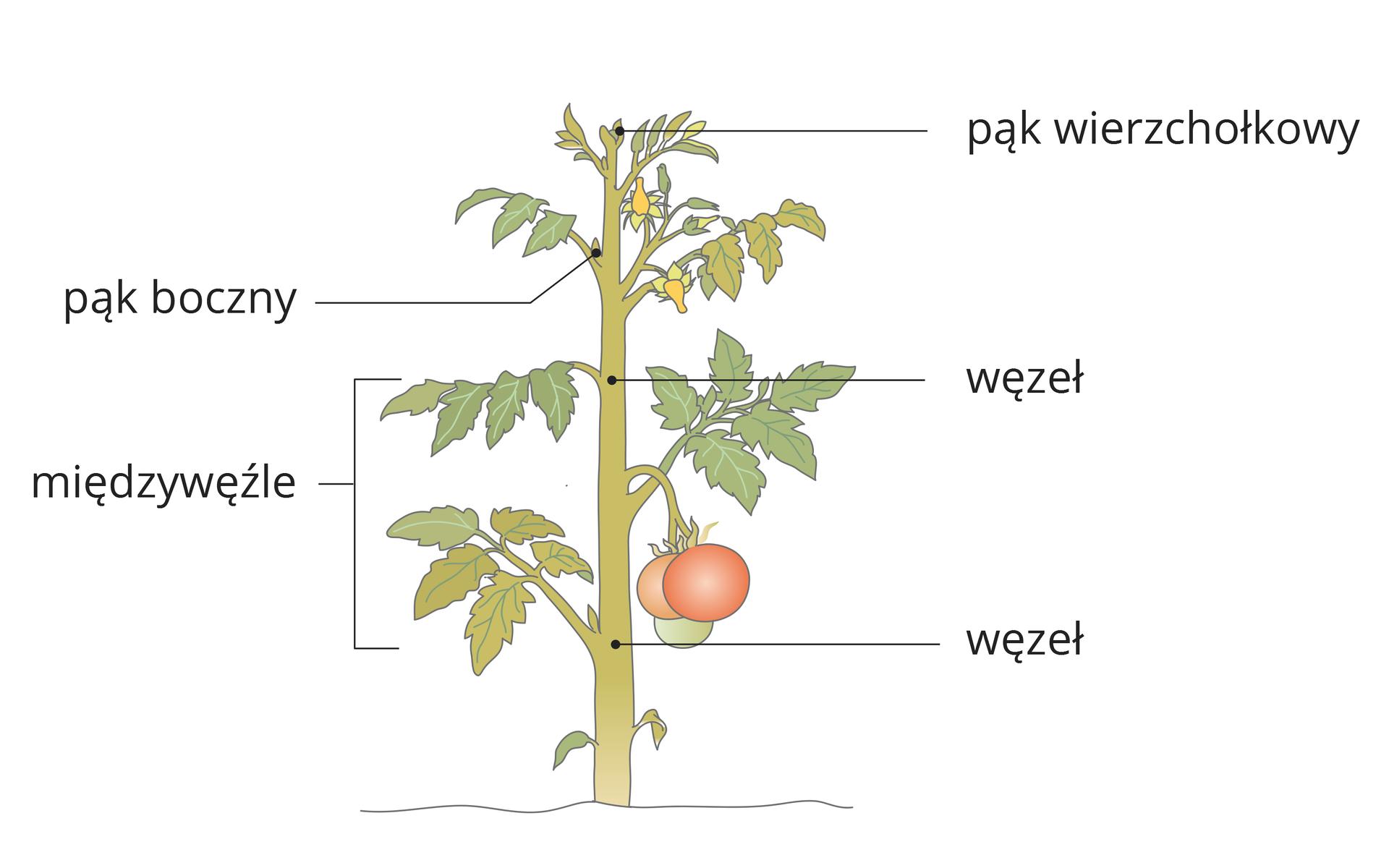 Ilustracja przedstawia pęd pomidora zliśćmi, żółtymi kwiatami iczerwonym owocem. Na łodydze zaznaczono jej części.