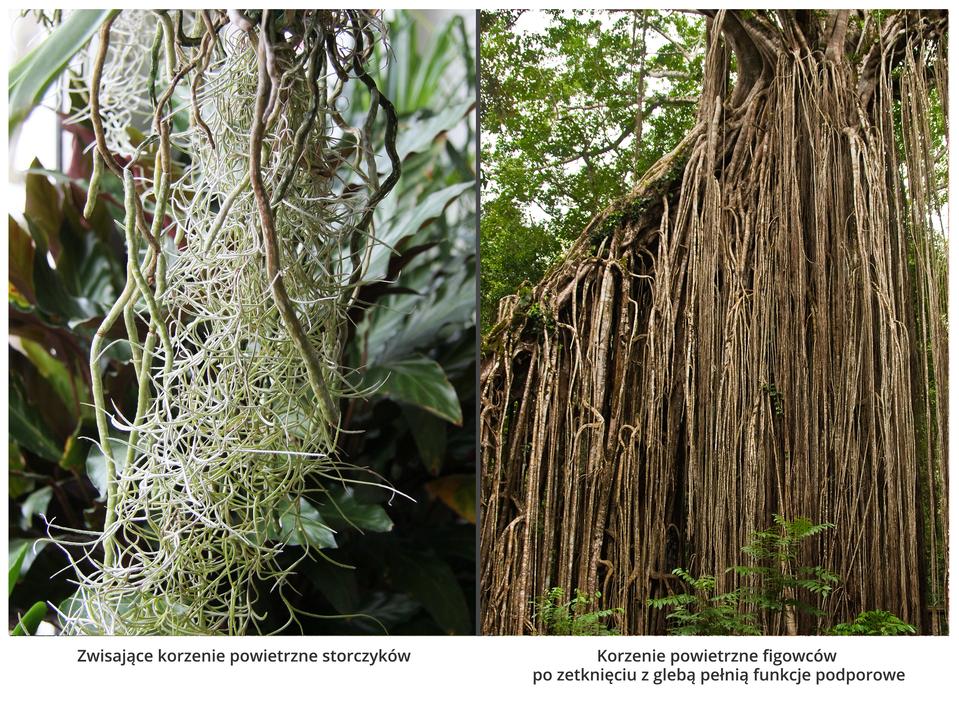 Fotografie przedstawiają dwa rodzaje korzeni powietrznych. Zlewej są białe, zwisające, splątane korzenie storczyków na tle roślin. Zprawej wiele brązowych, cienkich, zwisających korzeni figowca. Po zetknięciu zziemią korzenie te pełnia również funkcję podporową.