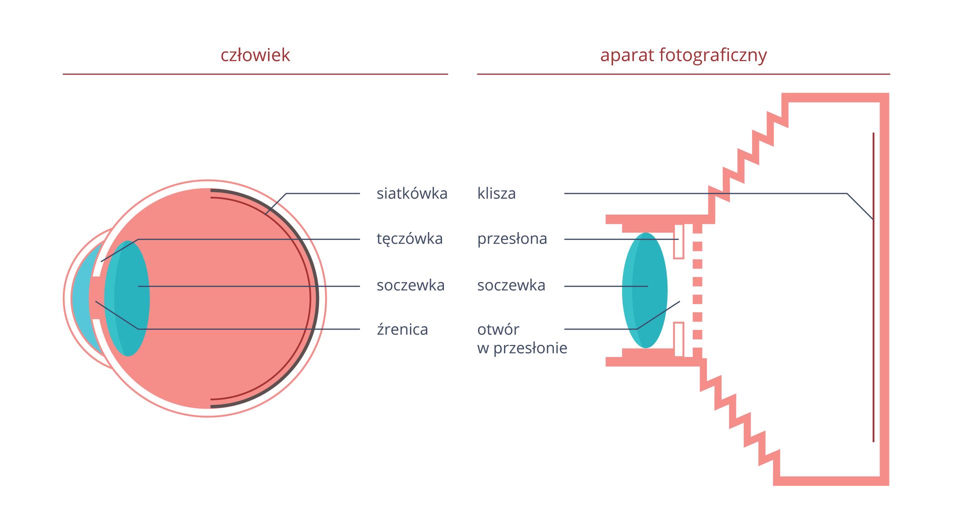 Ilustracja prezentująca porównanie elementów oka iaparatu fotograficznego. Po lewej stronie przekrój gałki ocznej, po prawej przekrój aparatu fotograficznego. Odpowiadające sobie elementy, to: siatkówka- klisza, tęczówka-przesłona, soczewka-soczewka, źrenica-otwór wprzesłonie.