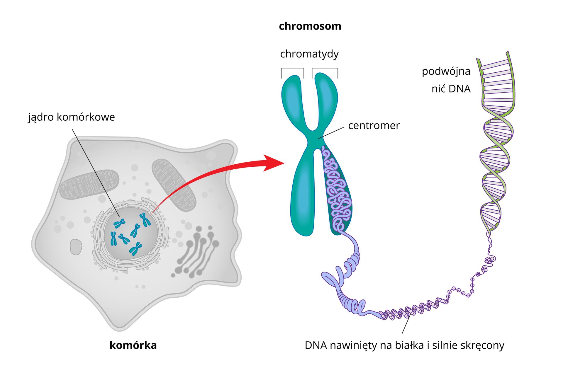 Ilustracja przestawia kolejne powiększenia chromosomu. Od lewej wielokątna szara komórka zzaznaczonymi organellami. Wśrodku jądro komórkowe zbłękitnymi chromosomami. Od nich strzałka wprawo do jednego iksowatego chromosomu. Ramiona podpisane chromatydy, wśrodku połączenie nazwane centromer. Zchromatydy udołu wysuwa się splątana, gruba lina. To DNA, nawinięty na białka isilnie skręcony. Dalej wprawo lina rozwija się iuwidacznia skręconą drabinkę zliliowymi szczeblami między zielonymi bokami. Podpis podwójna nić DNA.