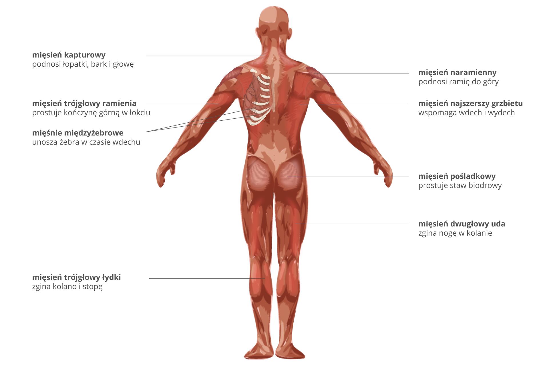 Ilustracja przedstawia mięśnie człowieka od tyłu. Podpisano od góry: mięsień kapturowy podnosi łopatki, bark igłowę. Mięsień naramienny podnosi ramię do góry. Mięsień trójgłowy ramienia prostuje rękę włokciu. Mięsień najszerszy grzbietu wspomaga wdech iwydech. Mięśnie międzyżebrowe unoszą żebra wczasie wdechu. Mięsień pośladkowy prostuje staw biodrowy. Mięsień dwugłowy uda zgina nogę wkolanie. Mięsień trójgłowy łydki zgina kolano istopę.