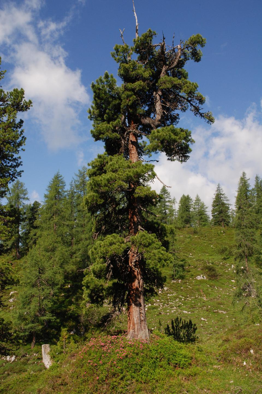 Fotografia prezentuje smukłe drzewo iglaste – limbę.