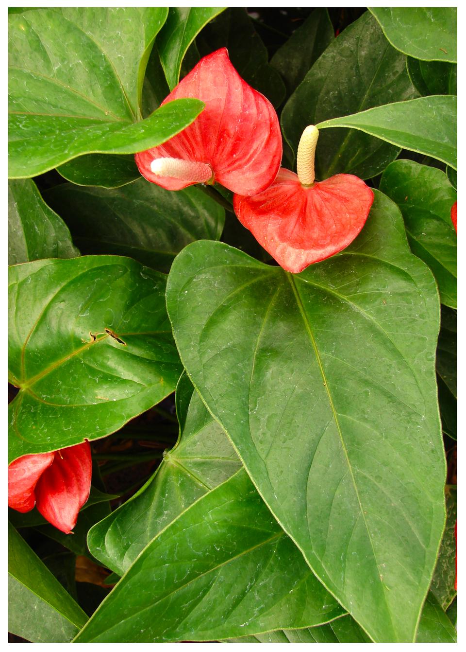 Galeria fotografii trujących roślin: Anturium.