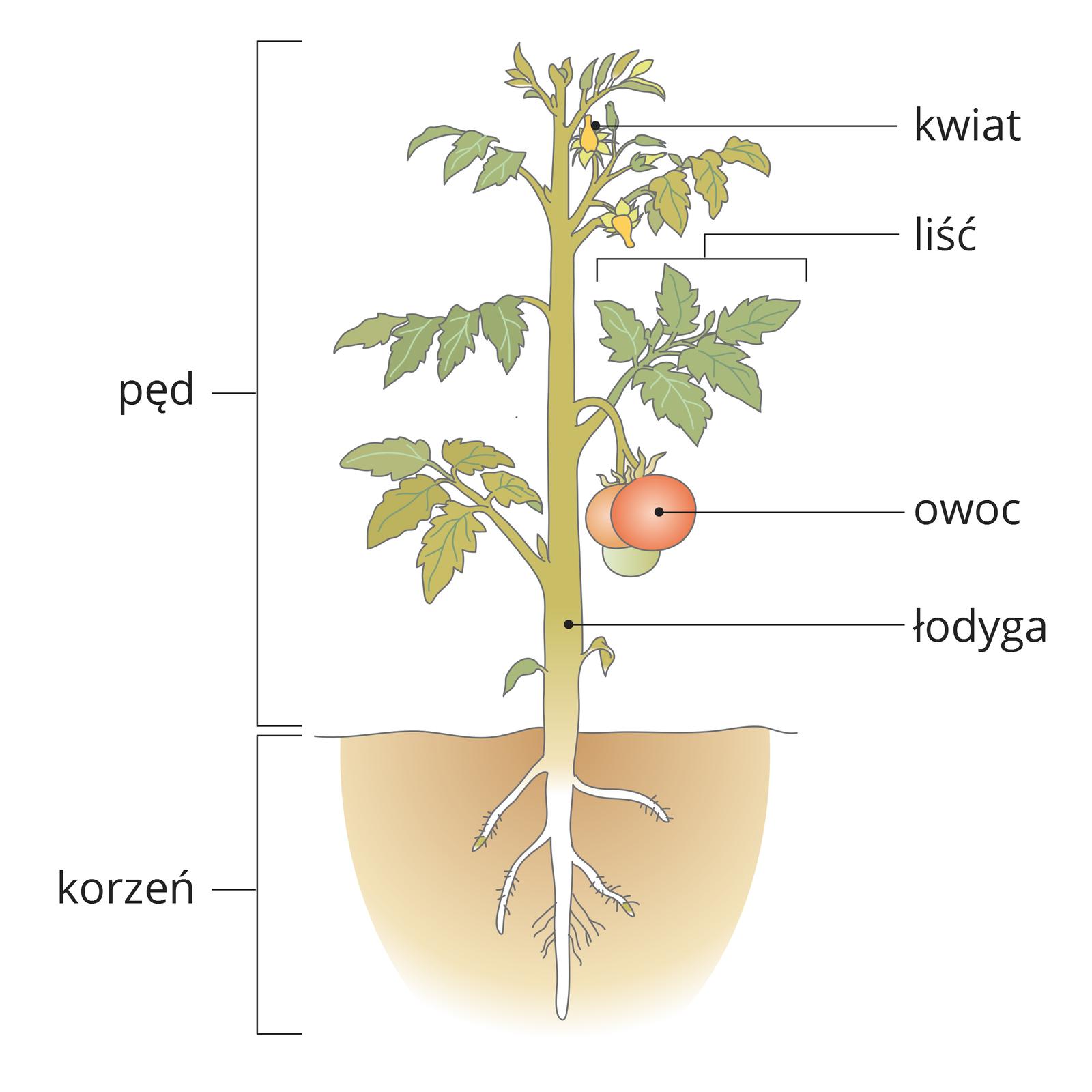 Ilustracja przedstawia pęd pomidora zkorzeniem. Od góry na łodydze znajdują się: żółte kwiaty, zielone liście iczerwone owoce. Rozgałęziony korzeń znajduje się wziemi.