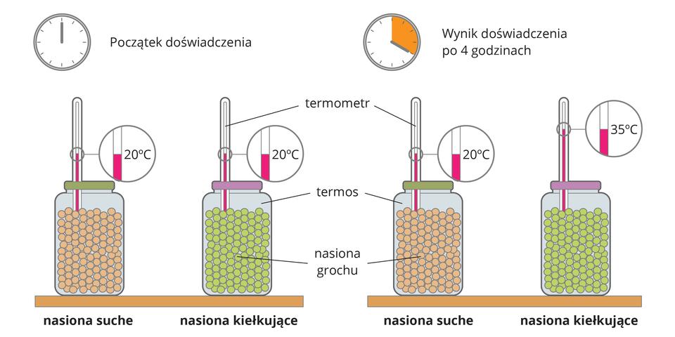 Ilustracja przedstawia 2 zestawy doświadczane na początku ina końcu doświadczenia. Wkażdym zestawie są nasiona suche ikiełkujące. Na końcu doświadczenia temperatura nasion kiełkujących wzrosła.