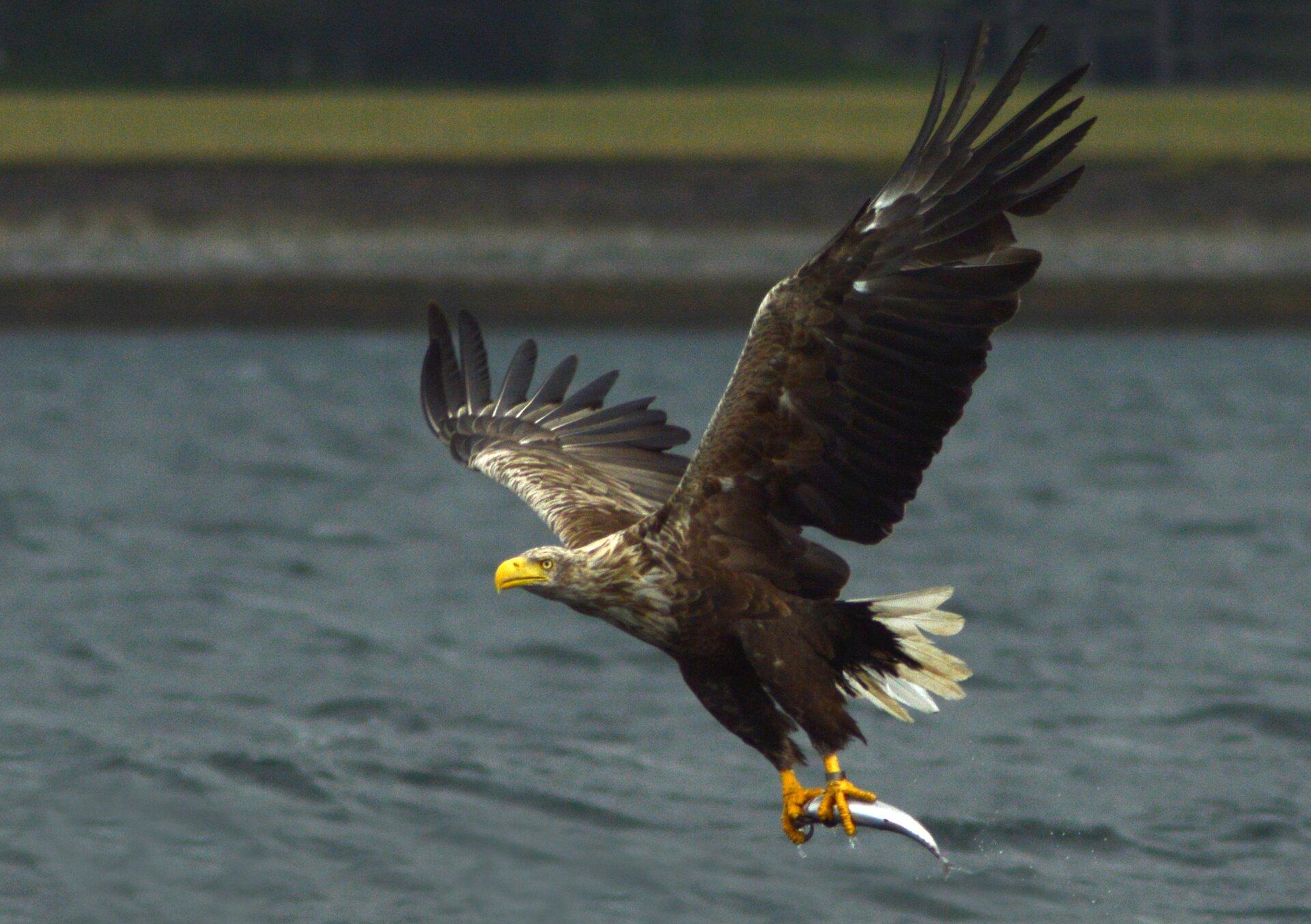 Fotografia przedstawia brązowego ptaka, zrywającego się do lotu nad wodą. Ma żółty dziób iszpony, wktórych trzyma upolowaną rybę. To bielik.